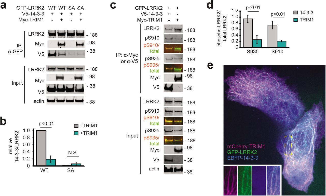 TRIM1 competes with 14-3-3 to bind LRRK2's regulatory loop and recruit LRRK2 to microtubules. (A) Co-immunoprecipitation of GFP-LRRK2 wild type (WT) and Ser910Ala Ser935Ala (SA) with V5-14-3-3 theta in the presence and absence of myc-TRIM1 in HEK-293T cells. (B) Quantification of (A) showing mean value from three independent experiments with error bars showing the standard error of the mean. (C) Co-immunoprecipitation of GFP-LRRK2 with either V5-14-3-3 theta or myc-TRIM1 in HEK-293T cells. Overlaid immunoblots in color show relative ratio of total to phospho-LRRK2 (total LRRK2 in green, antibody is NeuroMab clone N241A/34; phospho-LRRK2 is in red, antibodies are phospho-Ser910 (Abcam, UDD 1 15(3)) and phospho-Ser935 (Abcam, UDD 2 10(12)). (D) Quantification of (C) showing mean value from three independent experiments with error bars showing the standard error of the mean. (E) Live-cell confocal microscopy of GFP-LRRK2 in the presence of mCherry-TRIM1 and EBPF2-14-3-3 theta. Inset shows GFP-LRRK2 and mCherry-TRIM1 at microtubules with EBFP-14-3-3 theta diffusely cytoplasmic. All live cell imaging and co-immunoprecipitation experiments are a representative image of at least three independent experiments.
