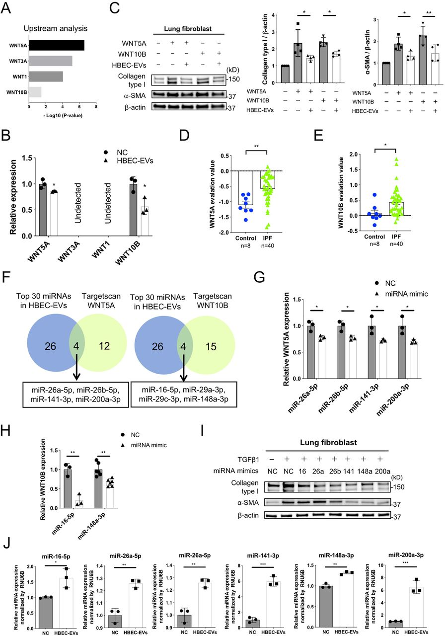 miRNA cargo in HBEC EVs attenuates TGF-β-induced myofibroblast differentiation via suppression of WNT5A and WNT10B expression . A Ingenuity Pathway Analysis (IPA) of upstream regulators of WNT ligand genes in LFs treated for 48 h with HBEC EVs. B qRT-PCR analysis of WNT1, WNT3A, WNT5A and WNT10B mRNAs in LFs treated for 24h with HBEC EVs (10 μg/ml, n=3). * P
