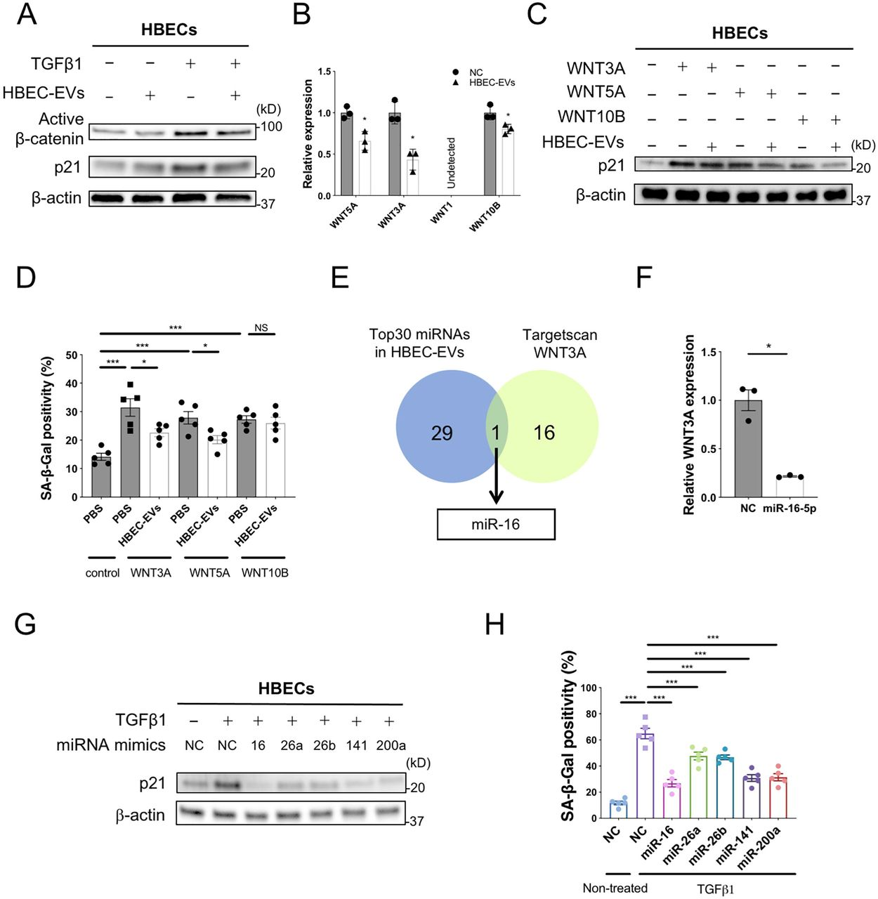 miRNA cargo in HBEC EVs attenuates TGF-β-induced epithelial cell senescence via suppression of WNT3A and WNT5A expression . A Representative immunoblot showing the amount of active β-catenin and β-actin in HBECs treated for 48 h with PBS or HBEC EVs (10 μg/ml) in the presence or absence of TGF-β1 (2 ng/ml). B qRT-PCR analysis of WNT1, WNT3A, WNT5A and WNT10B mRNAs in HBECs treated for 24 h with HBEC EVs (10 μg/ml, n=3). * P