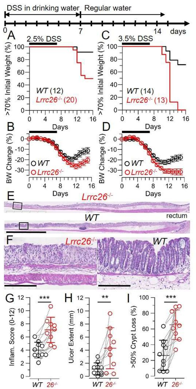 Genetic ablation of LRRC26 dramatically enhances susceptibility to DSS-induced colitis. A-D , Survival plots and change in body weight curves of mice treated for 7 days with 2.5% ( A-B ) or 3.5% DSS (MP Biomedicals, MW: 36-50 KDa) ( C-D ). In accordance with guidance from WUSTL-animal studies committee, animals whose body weight dropped > 30% of their initial value were considered terminal and euthanized. Graphs compile results from 4 independent assays where 8 litters (with both Lrrc26 -/- and WT littermates) were treated with 2.5% DSS or 2 assays where 4 litters were treated with 3.5%. Mice were 10-14 weeks old at the time of the treatment and both sexes were included. In body weight plots (mean ± SEM), for mice that died or required euthanasia, weight at the time of death was considered the same until the end of the experiment. Curves were compared using a two-way ANOVA that yielded P=0.0117 for 2.5% and P=0.0073 for 3.5% DSS. E , Representative images of H E stained most distal segment of colon from Lrrc26 - and WT (littermates) at the 7 th day of treatment (bars: 2.5 mm). F , Areas within the squares in (E), (bars 250 μm). G-I , Histophatologic colitis severity in the distal colon of DSS-treated mice scored from sections as in E-F. Inflammation score ( G ), total ulcer extention ( H ) and fraction of epithelial surface with 50% or more of crypt loss ( I ), represented as mean±SD. Dotted lines connect results from siblings. Sets of values were compared using two-tailed t-test that yielded P=0.00054, P=0.0071, and P=00036 for comparisons in G, H, and I, respectively.
