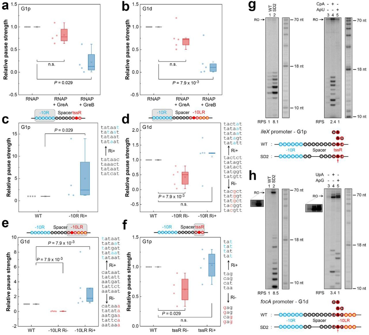 -10R, spacer length and tssR/-10LR determine G1p and G1d pauses in vitro . Boxplots of pause strength for G1p (a) and G1d (b) pauses in the absence and presence of GreA or GreB. G1p ( exuR , mraZ , ileX and mocA ) and G1d ( yieE , minC , gadW , mrdB and artP ) promoters were used for the analysis. The pause strength was determined by dividing the signal intensity of run-off and paused RNA products to the signal intensity of paused RNA product in the gel for each in vitro template (Pause strength = Signal intensity[paused RNA]/(Signal intensity[paused RNA] + Signal intensity[run-off])). The pause strength in the absence of Gre factors was taken as 1 (a, b) . Boxplots show the effect on pause strength of −10R and tssR mutations in G1p promoters (c, f) , and −10R and −10LR mutations in G1d promoters (d, e) . Pause strength of the WT promoters was set to 1 (c, d, e, f) . −10R (−10LR; tssR) Ri-/Ri+, mutated −10R (−10LR; tssR) with decreased or increased Ri are indicated. The grey rectangle in each cartoon represents the motif used for mutation analysis. The original and mutated (colored in blue or red) DNA sequences designed to increase (Ri+) or decrease (Ri-) Ri are shown on the right in gene order. Two-tailed Mann-Whitney U -test was used for statistical analysis of the data. Effect of the spacer length on G1p (g) and G1d (h) pauses. The in vitro transcription was initiated on the WT template or on the mutant template with the shortened DNA spacer (left); different dinucleotide RNA primers overlapping the tssR were employed to alter the position of the TSS (right). The inset shows the run-off transcripts with higher exposure to visualize the faint bands. Structural elements of the WT and mutated promoters are shown on the bottom. Each circle represents a single nucleotide. Open blue circles, −10R; Dark red circle, overlapped nucleotide between spacer and tssR/-10LR; Open black and dark red circles, spacer; Red circles, tssR; Red and orange circles, −10LR; Filled red ci