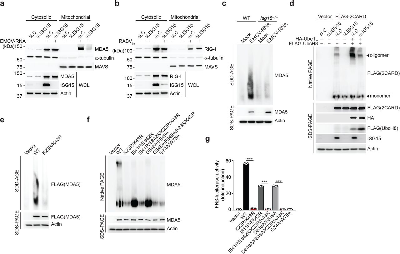 CARD ISGylation is essential for formation of higher-order MDA5 assemblies. ( a , b) Cytosol-mitochondria fractionation of WCLs from NHLFs that were transfected for 30 h with non-targeting control siRNA (si.C) or ISG15-specific siRNA (si.ISG15) and then mock-treated or transfected with EMCV-RNA (0.4 μg/mL) (a) or RABVLe (1 pmol/mL) (b) for 16 h. IB was performed with anti-MDA5 (a), anti-RIG-I (b), anti-ISG15 and anti-Actin (a, b). α-Tubulin and MAVS served as purity markers for the cytosolic and mitochondrial fraction, respectively (a, b). (c) Endogenous MDA5 oligomerization in WT and Isg15 −/− MEFs that were transfected with EMCV-RNA (0.5 μg/mL) for 16 h, assessed by SDD-AGE and IB with anti-MDA5. WCLs were further analyzed by SDS-PAGE and probed by IB with anti-MDA5 and anti-Actin. (d) Oligomerization of FLAG-MDA5-2CARD in HEK293T cells that were transfected with the indicated siRNAs together with or without HA-Ube1L and FLAG-UbcH8 for 48 h, determined by native PAGE and IB with anti-FLAG. WCLs were further analyzed by SDS-PAGE and probed by IB with anti-FLAG, anti-HA, anti-ISG15, and anti-Actin. (e) Oligomerization of FLAG-MDA5 WT and K23R/K43R in transiently transfected MDA5 KO HEK293 cells, assessed by SDD-AGE and IB with anti-FLAG. WCLs were further analyzed by SDS-PAGE and IB with anti-FLAG and anti-Actin. (f) Oligomerization of FLAG-tagged MDA5 WT and mutants in transiently transfected MDA5 KO HEK293 cells, assessed by native PAGE and IB with anti-MDA5. WCLs were further analyzed by SDS-PAGE and probed by IB with anti-MDA5 and anti-Actin. (g) IFN-β-luciferase reporter activity in MDA5 KO HEK293 cells that were transfected for 24 h with either empty vector, or FLAG-tagged MDA5 WT or mutants. Luciferase activity is presented as fold induction relative to the values for vector-transfected cells, set to 1. Data are representative of at least two independent experiments (mean ± s.d. of n = 3 biological replicates in f). *** p