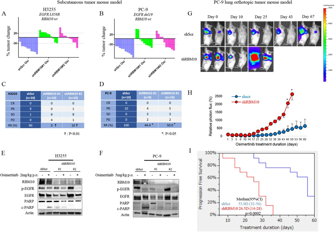 RBM10 deficiency limits the therapeutic efficacy of EGFR TKIs. A-D, Waterfall plots representing immunodeficient mice bearing H3255 ( A, C ) or PC-9 ( B, D ) tumor xenografts expressing either shScramble (shScr) control or sh RBM10 ; mice were treated with 2 mg/kg (H3255) or 5mg/kg (PC-9) osimertinib once daily over a duration of 14 days (n=10 tumors per treatment cohort). Percent changes in tumor volume compared to baseline volume (Day 0) for individual tumor xenografts are shown ( A, B ). Objective tumor response was graded using RECIST response criteria, comparing H3255 and PC-9 tumors expressing either shScr control or shRBM10 treated with osimertinib ( C, D ). E-F, H3255 and PC-9 tumor xenograft explants demonstrating the effect of RBM10 knockdown on PARP cleavage in mice treated with osimertinib or vehicle for 14 days. Tumors were harvested 4 hours after indicated treatments, and subsequent analyses of the indicated proteins was performed by western blot. G-I, PC-9 cells expressing either shScr or shRBM10 in a validated orthotopic lung tumor model were treated with 5 mg/kg osimertinib once daily for 60 days. Representative bioluminescent images ( G ) and mean relative photon flux ( H ) are shown. Progression-free survival (PFS) comparing PC-9 shScr control and PC-9 shRBM10 mice is shown ( I ) (p-value = 0.0002, Wilcoxon test). *; p