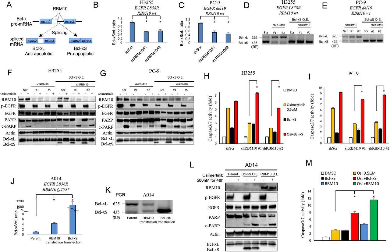 RBM10 deficiency decreases the Bcl-xS/Bcl-xL ratio to limit the apoptotic response to EGFR TKI therapy. A, RBM10 regulates Bcl-x mRNA splicing into Bcl-xS (pro-apoptotic) and Bcl-xL (anti-apoptotic) isoforms. B-C, Quantitative RT-PCR analysis of Bcl-xS-to-Bcl-xL ratio (mRNA levels) in H3255 ( B ) and PC-9 ( C ) cells expressing shRBM10 or shScr control. Data are shown as mean ± SEM of the fold change after normalization to housekeeping gene (GAPDH). D-E, Conventional PCR analysis using validated primers to detect both Bcl-xL and Bcl-xS isoforms in H3255 and PC-9 cells expressing either shScr control, shRBM10 with or without genetic rescue of Bcl-xS . F-G, H3255 and PC-9 ( EGFR L858R, EGFR del19 respectively; RBM10 WT) cells treated with osimertinib for 48 and 72 hours, which express either shRBM10 or shScr control paired with or without genetic rescue of Bcl-xS. Cell lysates were harvested, and the indicated proteins were determined by western blot analysis. H-I, Caspase-3/7 activity was measured using Caspase-Glo 3/7 assay. Each bar represents the mean ± SEM of the fold change after normalization to DMSO control. J-K, Quantitative RT-PCR ( J ) and conventional RT-PCR analysis ( K ) of the Bcl-xS-to-Bcl-xL ratio (mRNA levels) following genetic reconstitution of RBM10 or Bcl-xS in RBM10-deficient A014 cells. L, A014 cells (RBM10 deficient) overexpressing Bcl-xS or reconstituted with RBM10 24h before the osimertinib (500 nM) treatment or DMSO control for 48 hours. Cell lysates were harvested, and the indicated proteins were determined by western blot analysis. M, Activity of Caspase-3/7 was measured using Caspase-Glo 3/7 assay. Each bar represents the mean ± SEM of the fold change after normalization to DMSO control. Data represent 3 independent experiments. O.E.: Overexpression. BP; Base Pairs. *; p