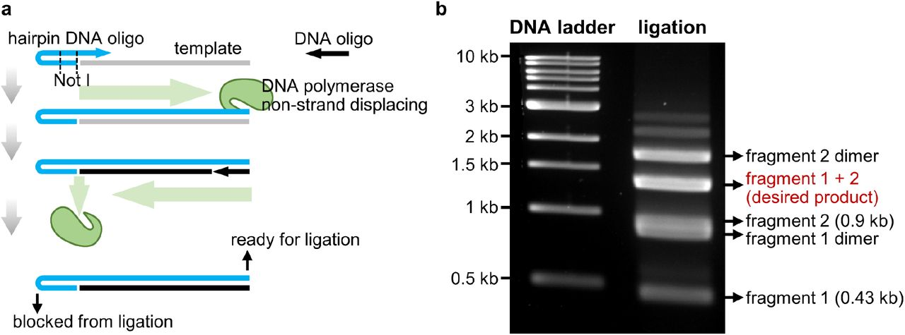 Working principles for orientation-controlled ligation by end blocking using hairpin oligos. ( a ) working principle for generating one end blocked DNA for orientation-controlled ligation by PCR using a hairpin DNA oligo. ( b ) Representative orientation-controlled ligation products visualized by agarose gel electrophoresis.