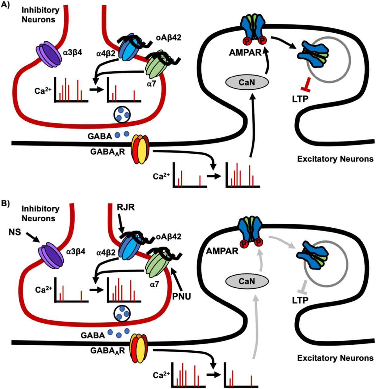Schematic model. A ) Impact of Aβ oligomers. In the hippocampus, nAChRs are prominently expressed on inhibitory interneurons, thus, selective binding of soluble Aβ42 oligomers (oAβ42) to α7- and α4β2-nAChRs but not α3β4-nAChRs, reduces neuronal activity in inhibitory cells, leading to a decrease in the release of GABA onto hippocampal excitatory neurons. Consequently, excitatory cells have increased frequency of Ca 2+ transients, resulting in elevated calcineurin (CaN) activity. CaN dephosphorylates the AMPAR subunit, GluA1, promoting AMPAR endocytosis and resulting in an overall decrease of AMPAR surface expression. This ultimately contributes to disruptions of LTP. B) Reversal of Aβ-induced synaptic and neuronal dysfunction by co-stimulation with α7- and α4β2-nAChRs agonists. As Aβ42 inhibits both α7- and α4β2-nAChRs but not α3β4-nAChRs, co-stimulation of α7- and α4β2-nAChRs by selective agonists, PNU-282987 (PNU) and RJR-2403 Oxalate (RJR), can restore normal activity of both hippocampal inhibitory and excitatory cells, reversing Aβ-induced synaptic dysfunction. This restoration of normal Ca 2+ activity prompts a decrease in calcineurin activity, leading to a decrease in AMPAR dephosphorylation and AMPAR endocytosis, ultimately restoring normal LTP. However, an agonist for α3β4-nAChRs, NS-3861 (NS), does not appear to have neuroprotective effects. Moreover, non-specific stimulation of nAChRs by using three agonists together or carbachol is unable to reverse the Aβ effects on neuronal activity and synaptic function, emphasizing the importance of selective co-stimulation of nAChRs as potential therapeutic approaches.