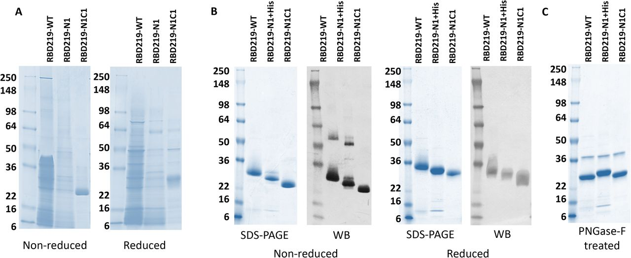 Coomassie Blue stained SDS-PAGE and western blot probed with anti-SARS-CoV-2 Spike rabbit antibody. (A) SDS-PAGE gel of 10 μL fermentation supernatant for tagged-free RBD219-WT, RBD219-N1, and RBD219-N1C1; (B) Coomassie Blue stained SDS-PAGE gel of 3 μg purified RBDs or western blot of 1.5 μg of the purified RBDs under non-reduced and reduced conditions. (C) SDS-PAGE of 3 μg PNGase-F treated purified RBDs; please note that the 37 kDa band observed on the PNGase-F treated gel is the N-glycosidase PNGase-F enzyme.