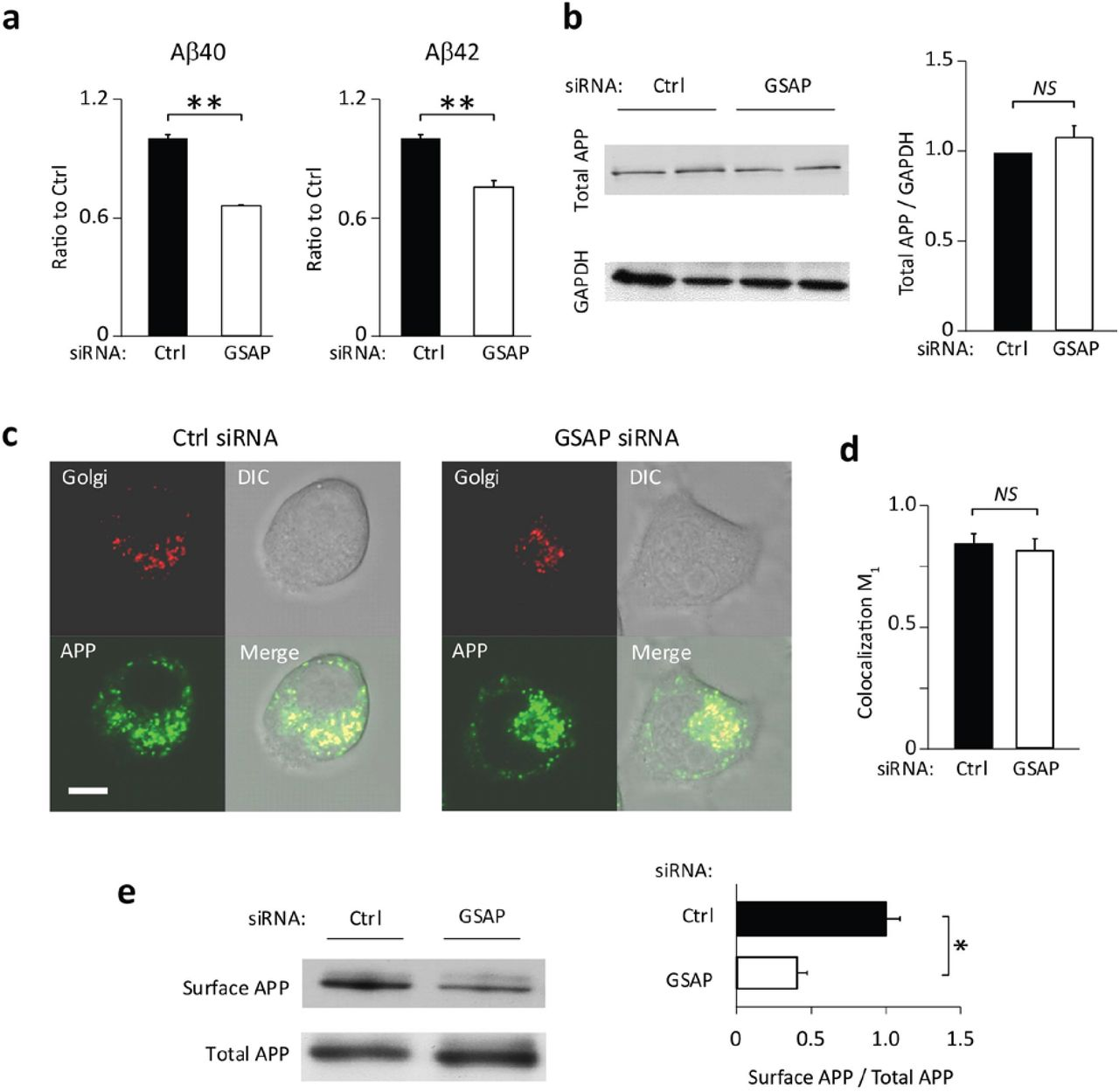 Effect of GSAP knockdown on Aβ secretation and APP distribution. (a) Downregulation of Aβ40 and Aβ42 secretation by GSAP knockdown using control (CTRL) and GSAP siRNA in N2a-695 cells. Secreted Aβ40 and Aβ42 levels were measured by ELISA (mean±SEM; n=3). (b) Immunoblotting analysis of the total APP protein level following transfection with CTRL and GSAP siRNA (Left) and quantification (Right). (mean±SEM; n=5). (c) Representative images of subcellular localization of APP and Golgi in living N2a cells infected with a baculovirus expressing an RFP-Golgi marker, and then transfected with APP-GFP plasmids. (d) Colocalization coefficients m1 quantification for APP-GFP and RFP-Golgi (n = 12; Scale bar: 10 μm). (e) Cell surface APP was biotinylated and precipitated with streptavidin-coupled beads following transfection with CTRL and GSAP siRNA. Total APP in the lysates and the precipitated surface APP were detected by immunoblotting (Left) and quantification (Right) (means±SEM; n=3). *P