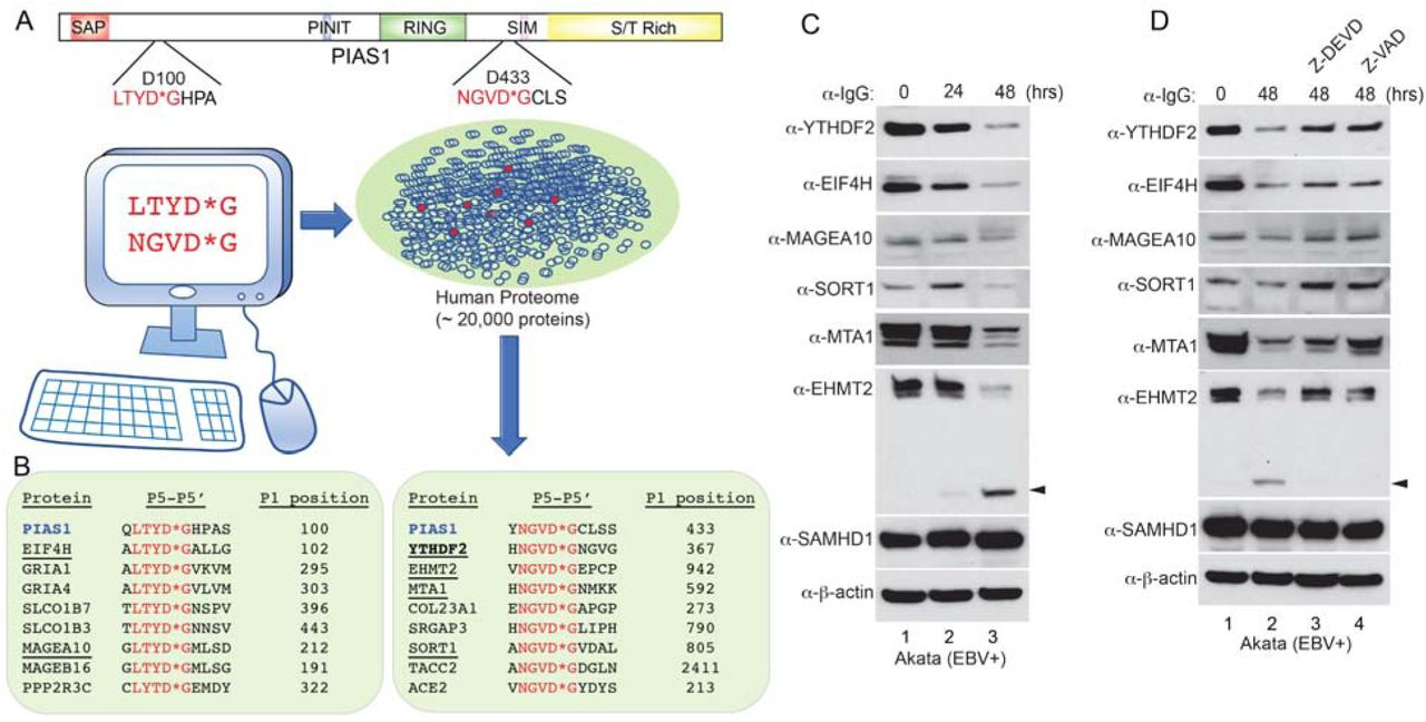 Identification of new potential caspase substrates during EBV reactivation. (A) The cleavage motifs derived from PIAS1 (LTYD*G and NGVD*G) were used to virtually screen the entire human proteome for proteins sharing the same sequences. The human proteome dataset containing approximately 20,000 human protein-coding genes represented by the canonical protein sequence was downloaded from UniProtKB/Swiss-Prot. (B) 16 additional proteins were extracted from the screen. 8 proteins carry the LTYD*G motif (left) and 8 proteins carry the NGVD*G motif (right). 6 proteins (underlined) were selected for further validation. (C) Protein downregulation during EBV reactivation. Akata (EBV+) cells was treated with anti-IgG antibody to induce EBV reactivation for 0, 24 and 48 hrs. Western Blot showing the downregulation of 6 selected proteins using antibodies as indicated. SAMHD1 and β-actin were included as controls. Arrowhead denotes the cleaved fragment for EHMT2. (D) Caspase inhibition blocks the degradation of YTHDF2, MAGEA10, SORT1 MTA1 and EHMT2. The Akata (EBV+) cells were either untreated or pretreated with a caspase-3/-7 inhibitor (Z-DEVD-FMK, 50 μM) or pan-caspase inhibitor (Z-VAD-FMK, 50 μM) for 1 hr, and then anti-IgG antibody was added for 48 hrs. Western Blot showing the protein levels of 6 selected proteins using antibodies as indicated. SAMHD1 and β-actin were included as controls. Arrowhead denotes cleaved EHMT2 fragment.