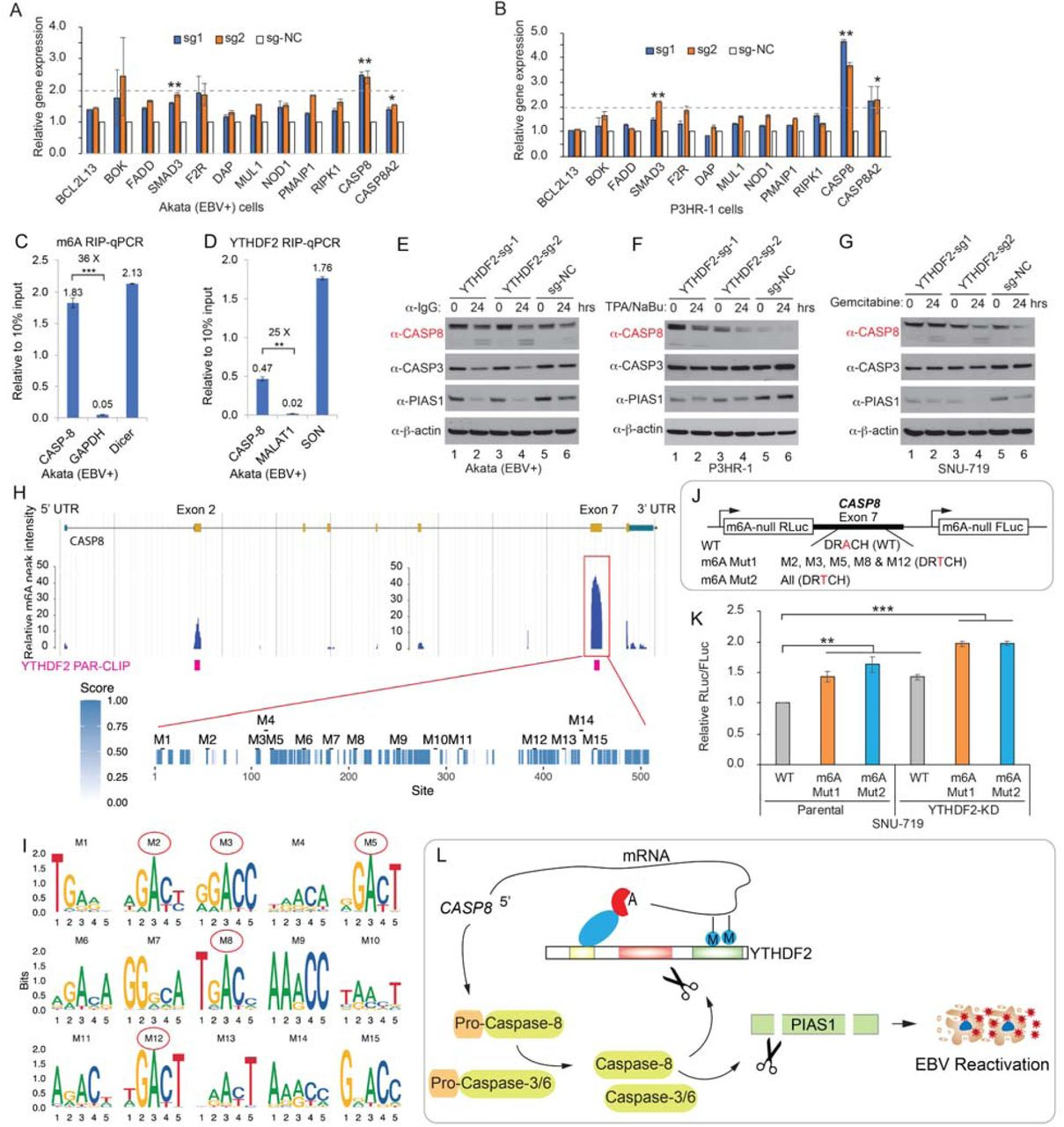YTHDF2 regulates CASP8 mRNA stability through m 6 A modifications. (A-B) YTHDF2 depletion promotes CASP8 mRNA expression. Akata (EBV+) cells and P3HR-1 cells carrying different sgRNA targeting YTHDF2 or control (sg-NC) were used to extract total RNA and qPCR analyses were performed a group of YTHDF2-targeted cellular genes involved in caspase activation. The values were normalized with a non YTHDF2 target HPRT1 . The values of sg-NC were set as 1. (C-D) CASP8 is modified by m 6 A and YTHDF2 binding to CASP8 . Akata (EBV+) cells were used to perform m6A RIP-qPCR (C) and YTHDF2 RIP-qPCR (D), respectively. Values are displayed as fold change over 10% input. (E-G) YTHDF2 depletion promotes caspase-8 protein expression and PIAS1 cleavage upon lytic i nduction. Akata (EBV+) cells (E), P3HR-1 cells (F) and SNU-719 cells (G) carrying different sgRNA targeting YTHDF2 or control (sg-NC) were lytically induced by anti-IgG, TPA and sodium butyrate (NaBu) and gemcitabine treatment for 24 hrs. Protein expression was monitored by Western Blot using antibodies as indicated. (H) CASP8 m 6 A peaks were extracted from MeT-DB V2.0 database. YTHDF2-PAR-CLIP data were retrieved from Wang et al.( Wang et al., 2014 ). The Exon-7 of CASP8 with highest m 6 A peaks were analyzed for conservation among sequences derived from 100 vertebrate species. 15 potential m 6 A motifs (M1-M15) were extracted based on m 6 A motif DRACH. (I) Motif logos were generated for 15 individual sites. Red cycles denote highly conserved motifs (M2, M3, M5, M8 and M12) across 100 vertebrate species. (J-K) WT and mutant CASP8 -Exon-7 were cloned into the m 6 A-null Renilla luciferase (RLuc) reporter (3'UTR region) that also express Firefly luciferase (FLuc) from a separate promoter (J). These three reporter plasmids were transfected into parental or YTHDF2-depleted (YTHDF2 KD) SNU719 cells. Relative Renilla to Filefly luciferase activity (RLuc/FLuc) was calculated (K). The value of WT in parental cells was set as 1. (