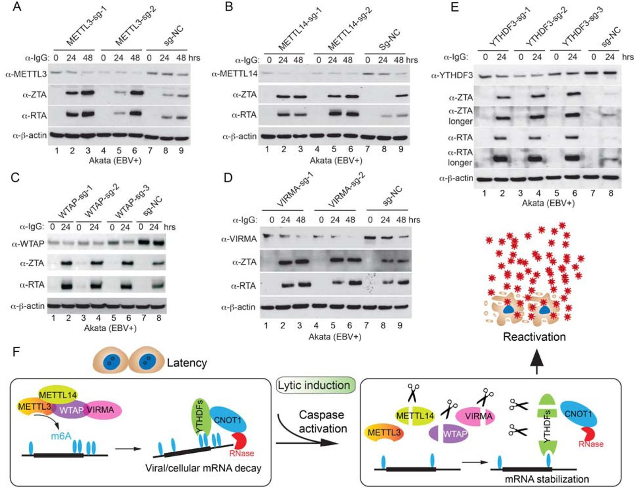 Depletion of m 6 A writers and reader YTHDF3 promotes EBV reactivation. (A-E) Akata (EBV+) cells were used to establish stable cell lines using 2-3 different guide RNA constructs targeting METTL3 (A), METTL14 (B), WTAP (C), VIRMA (D) and YTHDF3 (E) and a non-targeting control (sg-NC). The cells were untreated or lytically induced with anti-IgG-mediated BCR activation. Cellular and viral protein expression levels were monitored by Western Blot using antibodies as indicated. (F) Model summarizing the regulation of m 6 A RNA modification pathway in EBV life cycle. During latency, m 6 A writers deposit the methyl group onto key viral and cellular mRNAs which are subsequently destabilized by m 6 A readers. Upon reactivation, on one hand, cellular caspases cleave the writers to limit the m 6 A modification process, and on the other hand, caspases cleave readers to limits RNA decay by CNOT-CCR4 complex, which together drive the production of massive amounts of viruses. See also Figure S7 .