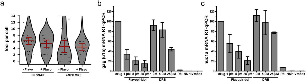 eGFP.OR3 punctae in infected cell nuclei are detected independent of HIV-1 transcription. ( a ) eGFP.OR3 and eBFP2.LMNB1 expressing TZM-bl cells were infected with 30 μU RT/cell VSV-G pseudotyped HIV ANCH for 47 h, after which 5 μM of the pTEF-b transcription initiation inhibitor Flavopiridol was added for another 8 h. Number of nuclear IN.SNAP and eGFP.OR3 punctae were quantified. One of three independent experiments is shown with n > 25 cells per sample, error bars represent 95 % CI. ( b,c ) qRT-PCR of viral RNA products specific for gag (u1a) ( b ) and the transcription of the first nucleosome nuc1a ( c ) quantified at 55 h p.i‥ eBFP2.LMNB1 and eGFP.OR3 expressing TZM-bl cells were infected with 5 μU RT/cell VSV-G pseudotyped HIV ANCH. Flavopiridol and the transcription elongation inhibitor 5,6-dichloro-1-beta-D-ribofuranosylbenzimidazole (DRB) were added 8 h prior RNA extraction. The experiment was performed in biological triplicates and error bars represent SD.