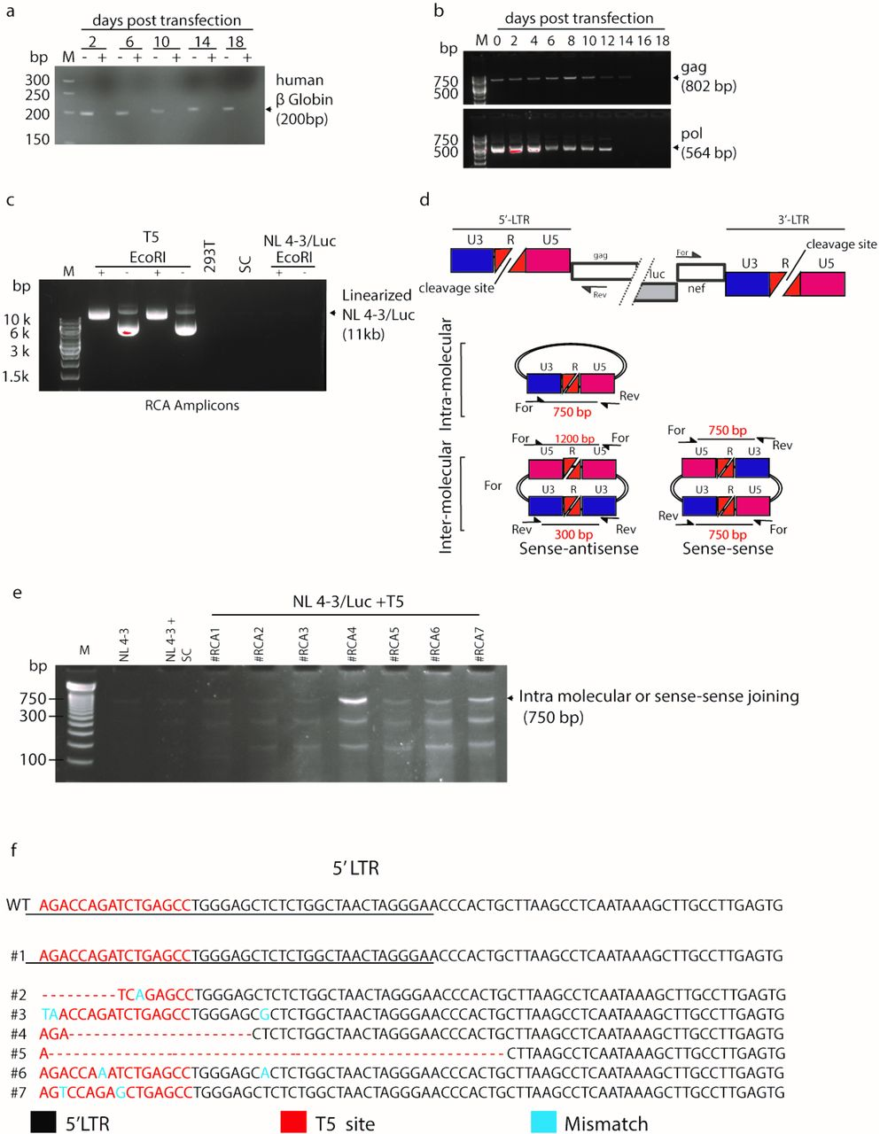 The excised HIV-1 provirus persists and circularizes after CRISPR/Cas9-transfection. a, PCR analysis of β-globin gene in genomic <t>DNA</t> samples from NL4-3/Luc-transduced 293T cells extracted at day 2, 6, 10, 14 and 18 post CRISPR/Cas9 transfection, before (−) and after (+) <t>ATP-dependent</t> DNA exonuclease digestion. M: Molecular weight marker. b, PCR analysis of gag and pol sequences of genomic DNA treated as in a with ATP-dependent DNA exonuclease digestion. c, Rolling circle amplification (RCA) of DNA samples extracted from NL4-3/Luc-transduced at day 10 post-CRISPR/Cas9 and T5 or SC gRNAs transfection. This technique allows selective amplification of circularized DNA as concatemers, requiring digestion with a single cutter to obtain full length fragments. RCA amplicons were electrophoresed as such (−) or after EcoR I digestion (+), which cuts NL4-3/Luc once in pol . 293 T were used as a negative control. d, Schematic of circular molecules of HIV-1 provirus formed by a single molecule or two molecules bound together in sense-to-sense or sense-to-antisense orientation and size of the amplicons of interest written in red and generated by the primers indicated. e, PCR fragments obtained from RCA amplicons from 7 different experiments (#RCA1-7) using the primers shown in Fig. 2d . f, Alignment of LTR sequencing of the 750-bp fragments obtained from #RCA1-7 and retrieved from the agarose gel of Fig. 2e . The red sequences indicate the T5 gRNA annealing site. Dashes indicate base deletions and blue letters denote nucleotide mismatches compared to wild-type pNL4-3 sequence.