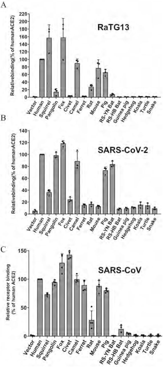 Binding of different ACE2 proteins by RBDs of bat SL-CoV RaTG13, SARS-CoV-2, and SARS-CoV. HEK293 cells transiently expressing different ACE2 cells were incubated with either RaTG13 (A), SARS-CoV-2 (B), or SARS-CoV (C) RBDs, followed by rabbit anti-His tag antibodies and Alexa-488 conjugated goat anti rabbit IgG, and analyzed by flow cytometry. The experiments were done at least three times. The results of percentage of positive cells from hACE2 binding were set to 100%, the rest was calculated as percentage of hACE2 binding according to results in flow cytometry analysis. Data are shown as the means ± standard deviations.