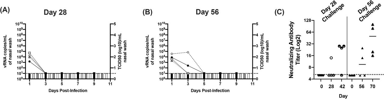 Viral and antibody titers in ferrets re-challenged with SARS-CoV-2 on day 28 and 56 post-primary infection. Panel A and B display nasal wash titers in ferrets re-challenged with SARS-CoV-2 on days 28 and 56 post-primary infection, respectively. Line graphs indicate levels of vRNA determined via N2 gene qRT-PCR (left Y-axis) and bar graphs indicated infectious titers (right Y-axis) determined via TCID50 on Vero cells. Panel C displays neutralizing antibody titers prior to primary infection (day 0), at the time of re-challenge (day 28 or 56) and 14 days post re-challenge (days 42 and 70). Horizontal dashed line indicates limit of detection.