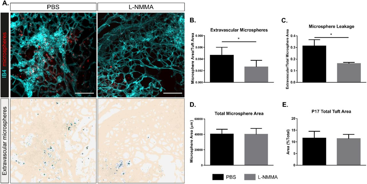 VEGFA induced eNOS phosphorylation and activity in vitro A. Effect of VEGFA (V; 100 ng/mL; 1, 5, 10 min), histamine (H; 10 μM, 1, 5, 10 min) or medium (C, control) on eNOS phosphorylation at S1177 in cultured Human Retinal Microvascular Endothelial Cells (HRMEC). B. Quantification of eNOS pS1177/total eNOS normalized to tubulin. Mean ±S.E.M. n = 3 independent experiments. * = p