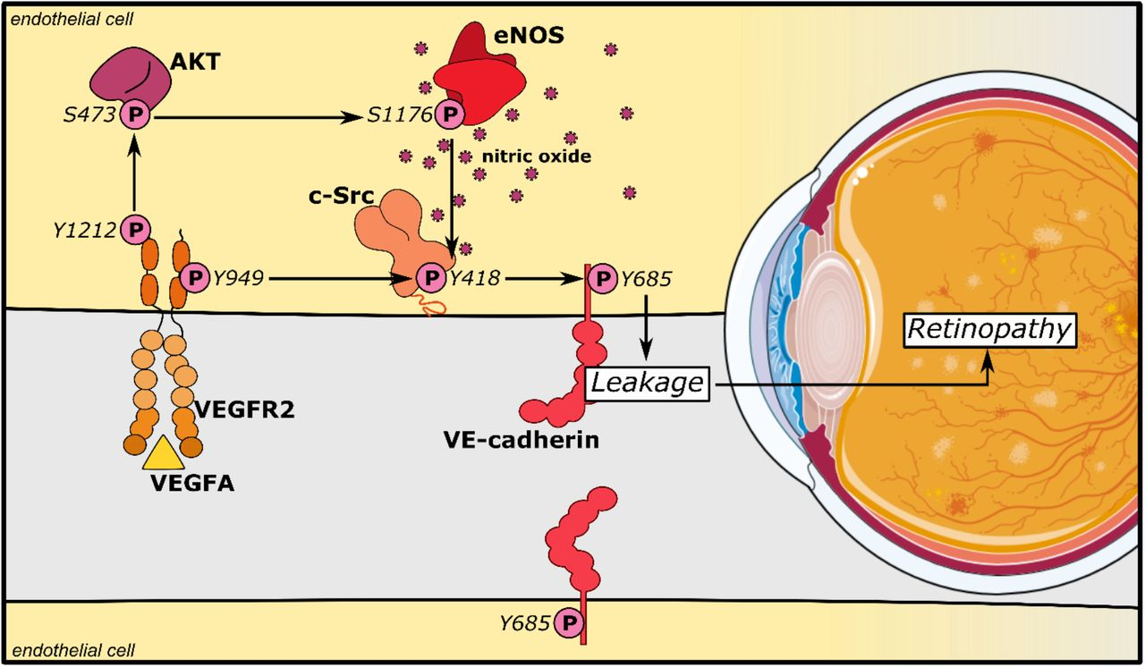 eNOS/NO modulates VE-cadherin Y685 phosphorylation via c-Src in a VEGFA/VEGFR2 dependent manner. VEGFA through VEGFR2 and its phosphosite Y1212 induces a chain of consecutive reactions in endothelial cells: phosphorylation of AKT at S473 and eNOS at S1176. The VEGFR2 phosphosite Y949 mediates phosphorylation of c-Src at Y418 and of VE-cadherin at Y685. Combined, these activating phosphorylation reactions disrupt the vascular barrier by dissociating VE-cadherin's homophilic interactions, resulting in macromolecular leakage. eNOS/NO exacerbates this damage via an interaction with c-Src to enhance VE-cadherin Y685 phosphorylation and internalization.