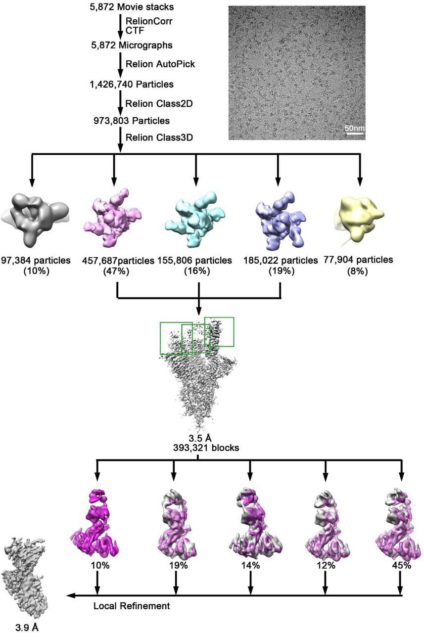 Flowchart of Cryo-EM data processing of SARS-CoV-2 S trimer and HB27 complex. Related to Figure 6 .