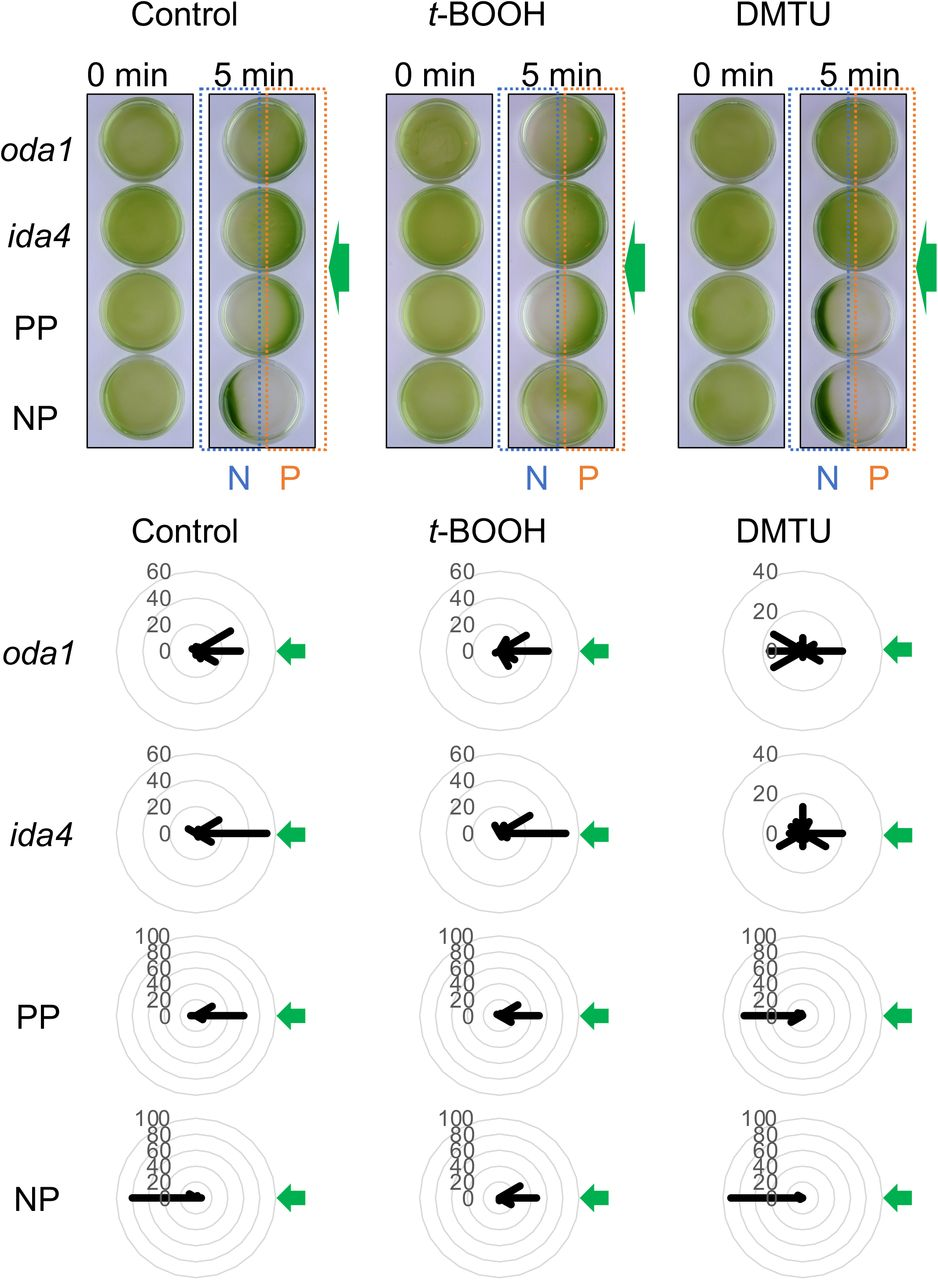 """Phototaxis assay of the slow-swimming mutants. (A) PP, NP, oda1 , and ida4 cell suspensions put in Petri dishes with or without ROS-modulating reagents (0.2 mM t -BOOH or 75 mM DMTU) were illuminated by green LED (λ=525 nm, 30 μmol photons m −2 s −1 ) from the right (green arrows) for 5 min from the right. Cells showing positive phototaxis are accumulated in the right halves of the dishes (orange boxes with """"P"""") and those showing negative phototaxis are accumulated in the left halves of the dishes (blue boxes with """"N""""). (B) Polar histograms depicting the percentage of cells moving in a particular direction relative to light illuminated from the right (green arrows), with or without treatment with ROS-modulating reagents (12 bins of 30°; n = 30 cells per condition)."""