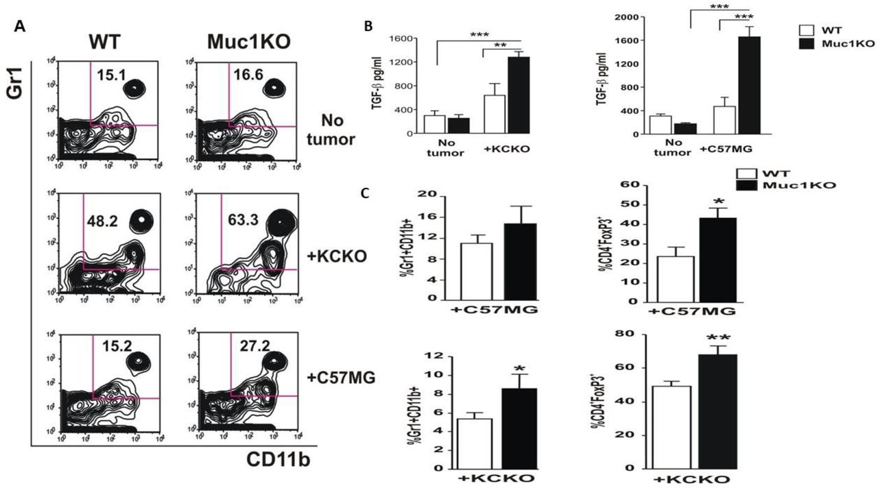MDSCs from MUC1KO mice have higher frequency and create a more immune suppressive environment. A) Splenocytes from healthy and tumor bearing WT and Muc1KO mice were isolated and labeled with anti Gr1 and CD11b antibodies. Representative plots from three separate experiments are shown. B) Levels of TGF-β was measured in the serum of healthy and cancer bearing WT and MUC1KO mice using ELISA kits. C) Levels of MDSCs and CD4+FoxP3+ cells were measured in the tumor of WT and Muc1KO mice using flow cytometry.