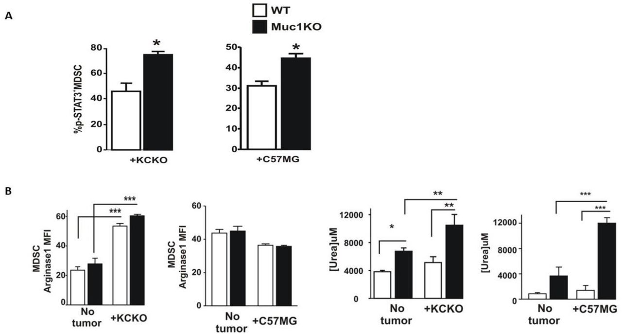 Phenotypic characterization of MDSCs in the BM of healthy and tumor bearing WT and Muc1KO mice. A) Splenocytes from tumor bearing WT and MUC1KO mice were isolated and labeled with antibodies against Gr1, CD11b, and pSTAT3. B) Levels of Arginase-1 expression in MDSCs of WT and MUC1KO mice was measured via flow cytometry. Arginase-1 activity in sorted MDSCs was measured using a urea assay.