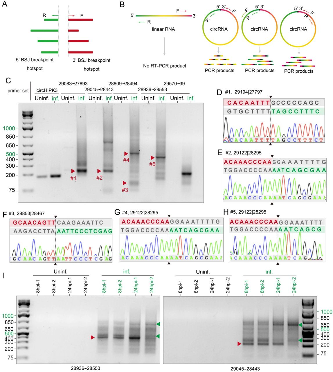 Experimental validation of SARS-CoV-2 circRNAs in Vero E6 cells. (A) Schematic showing divergent primers were designed to amplify all predicted BSJs in a given hotspot. (B) Illustration of BSJ RT-PCR with divergent primers would selectively amplify different regions of circRNAs but not linear RNAs. (C) BSJ RT-PCR with selected primer sets. Bands indicated by red arrows were gel-purified and sequenced. Note the intensity of most candidate BSJs were comparable to that of the positive control, circHIPK3 of host origin. Infection also enhanced the expression of circHIPK3. (D-H) Examples of Sanger sequencing results for PCR products in (C). Sequences around the 3' and 5' breakpoints were aligned to the BSJ sequence. BSJ Breakpoints were indicated by dashed lines. Donor and acceptor sequences were highlighted in magenta and green, respectively. Sequences excluded from the circRNA were shown in grey. (I) BSJ RT-PCR probing SARS-CoV-2_29122 28925 in uninfected and infected Vero E6 cells at 8hpi and 24hpi. Primer sets were labelled at the bottom of the gels. Red arrows correspond to bands #5 and #2 in (C). Green arrows indicate candidate circRNAs that are differentially expressed at early and late stage of infection.