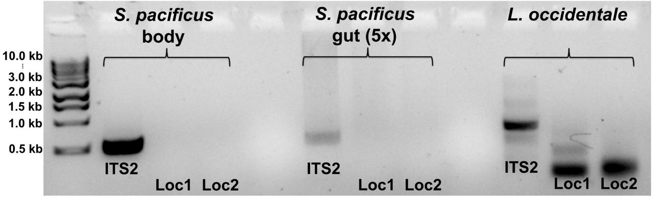 Molecular gut content analysis of Scolopostethus pacificus . Standard ITS2 (CAS5ps+CAS28s) and ant-specific Loc1 and Loc2 primers were used for PCR amplification using S. pacificus body-DNA, gut-DNA and Liometopum occidentale -DNA. While ITS2 amplified in all cases, no ITS2 fragment was amplified with ant-specific ITS (Loc 1/2) was amplified from dissected bugs' guts.