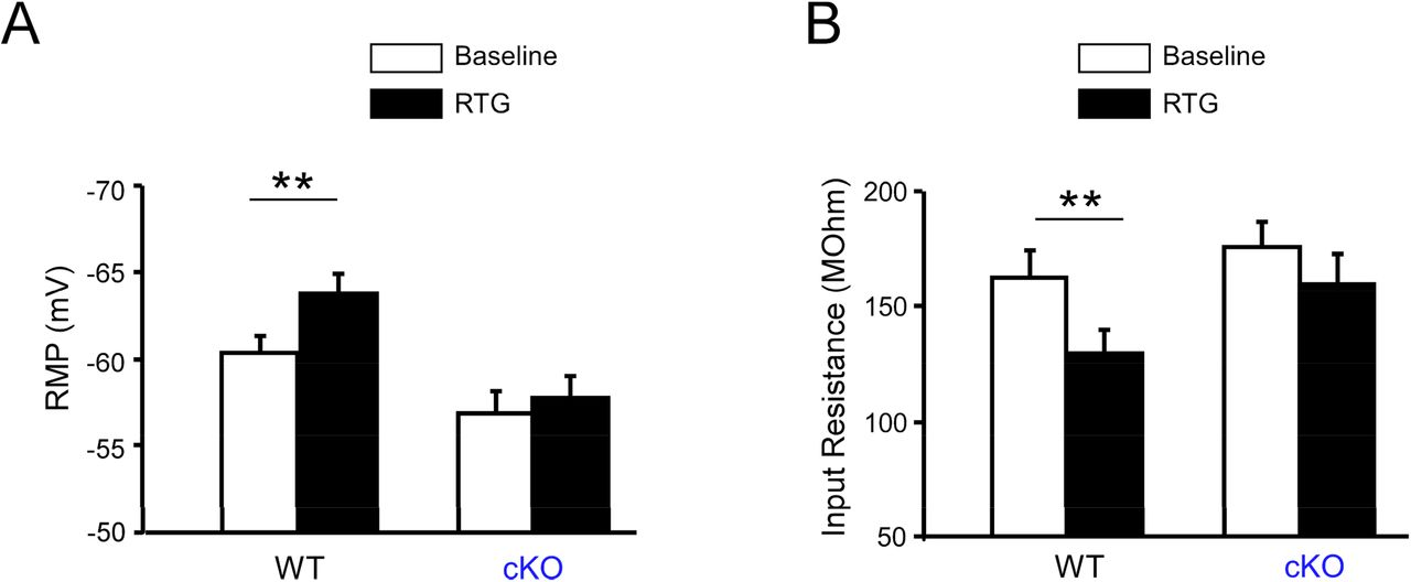 Effect of retigabine (RTG) on the passive membrane properties of hippocampal PV-INs in vitro . (A) Bath application of RTG in hippocampal slices significantly hyperpolarized the RMP of PV-INs from WT mice (n=20, ** p