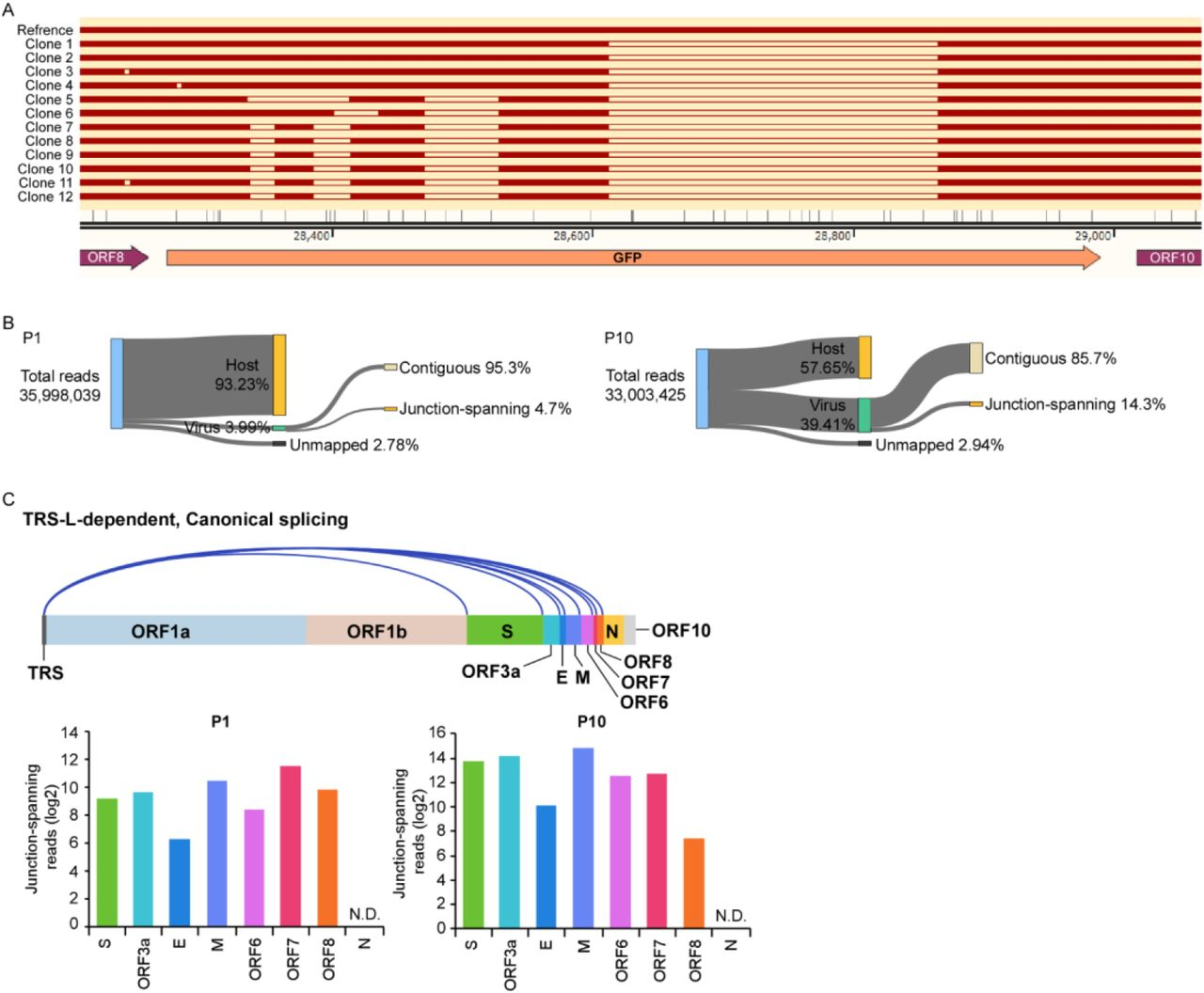 Characterization of the genetic stability of SARS-CoV-2 GFP/ΔN virus. (A) RT-PCR products from P10 virus infected cell passage were cloned into pEASY-Blunt vector, and 12 colonies were randomly chosen for DNA sequences analysis. Multiple deletions were detected in the amplicon. (B) Categories of mapped reads from P1 and P10 virus infected Caco-2-N cells. (C) Canonical discontinuous transcription (top) that is mediated by TRS-L (TRS in the leader) and TRS-B (TRS in the body). Quantification of junction-reads from canonical discontinuous transcripts post P1 and P10 virus infection.