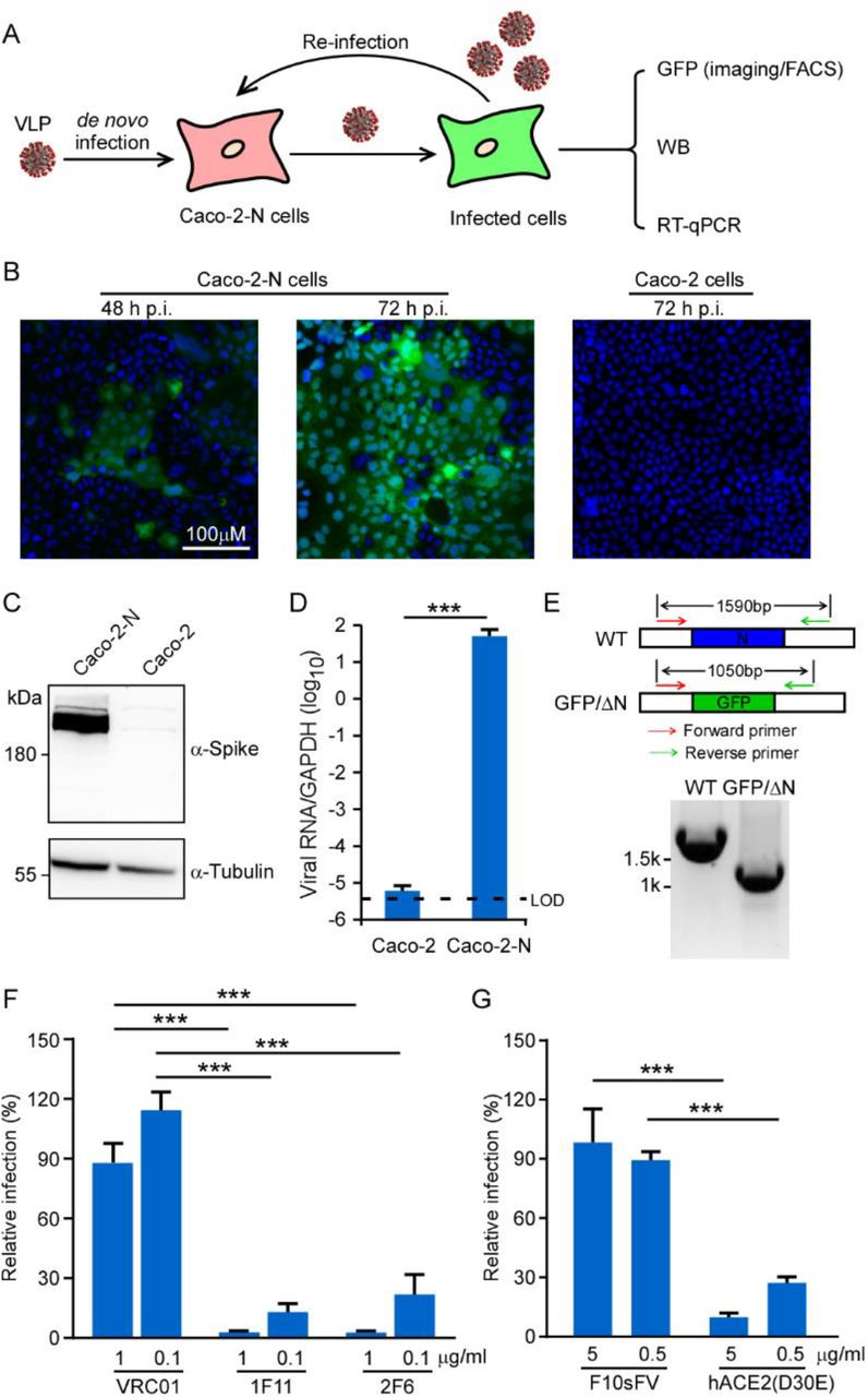 The recombinant SARS-CoV-2 GFP/ΔN trVLP can propagate with the help of viral N protein. (A) Experimental scheme. Caco-2 or Caco-2-N cells were infected with SARS-CoV-2 GFP/ΔN for 3h (MOI 0.05), washed, and incubated for an additional 72 h. GFP fluorescence were observed or quantified by microscopy or flow cytometry analysis. Viral RNA was determined by RT-qPCR assay; (B) GFP expression was observed in Caco-2 or Caco-2-N cells using microscopy at indicated time point after inoculation; Representative images from one of three independent experiments. (C) Cell lysates were resolved by SDS-PAGE and probed with anti-Spike and anti-Tubulin antibodies. Representative images from two independent experiments; (D) The total RNAs were extracted and RT-qPCR assays were conducted to determine viral RNA levels. Error bars represent the standard deviations from one of two independent experiments performed in triplicate; (E) RT-PCR analysis of the SARS-CoV-2 GFP/ΔN genome in Caco-2-N cells infected with recombinant virus using a primer set flanking the N region. The expected DNA sized were indicated in each genome, and DNA marker is shown on the left. Representative images from one of two independent experiments; (F-G) Recombinant SARS-CoV-2 GFP/ΔN virus was incubated with indicated doses of neutralizing mAbs against SARS-CoV-2 (1F11 and 2F6) or HIV (VCR01), as well as soluble human ACE2-Fc or F10sFV for 1 h prior to inoculation. The infection was analyzed by GFP expression 2 days later, and the number of positive cells was expressed as a percentage of that for the VRC01 or F10sFV treatment control. Error bars represent the standard deviations from three independent experiments (n=6). ***, P