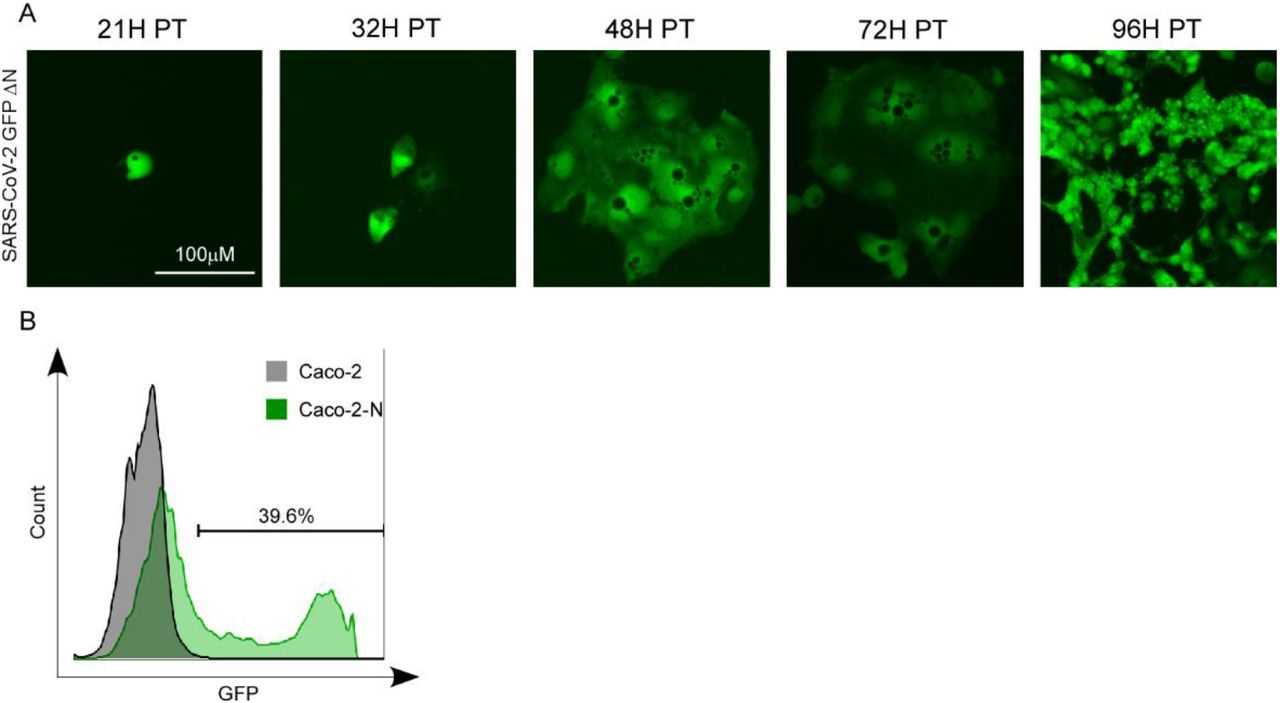 GFP expression in Caco-2-N cells electroporated with SARS-CoV-2 GFP/ΔN RNA. (A) GFP expression in Caco-2-N cells electroporated with SARS-CoV-2 GFP/ΔN RNA. Caco-2-N cells were electroporated with 20 μg of SARS-CoV-2 GFP/ΔN RNA. From 21h-96h p.t., GFP expression in the cells was observed with microscopy. (B) GFP expression was quantified by flowcytometry at 96h post transfection of the RNA. This experiment was representative of three independent experiments.