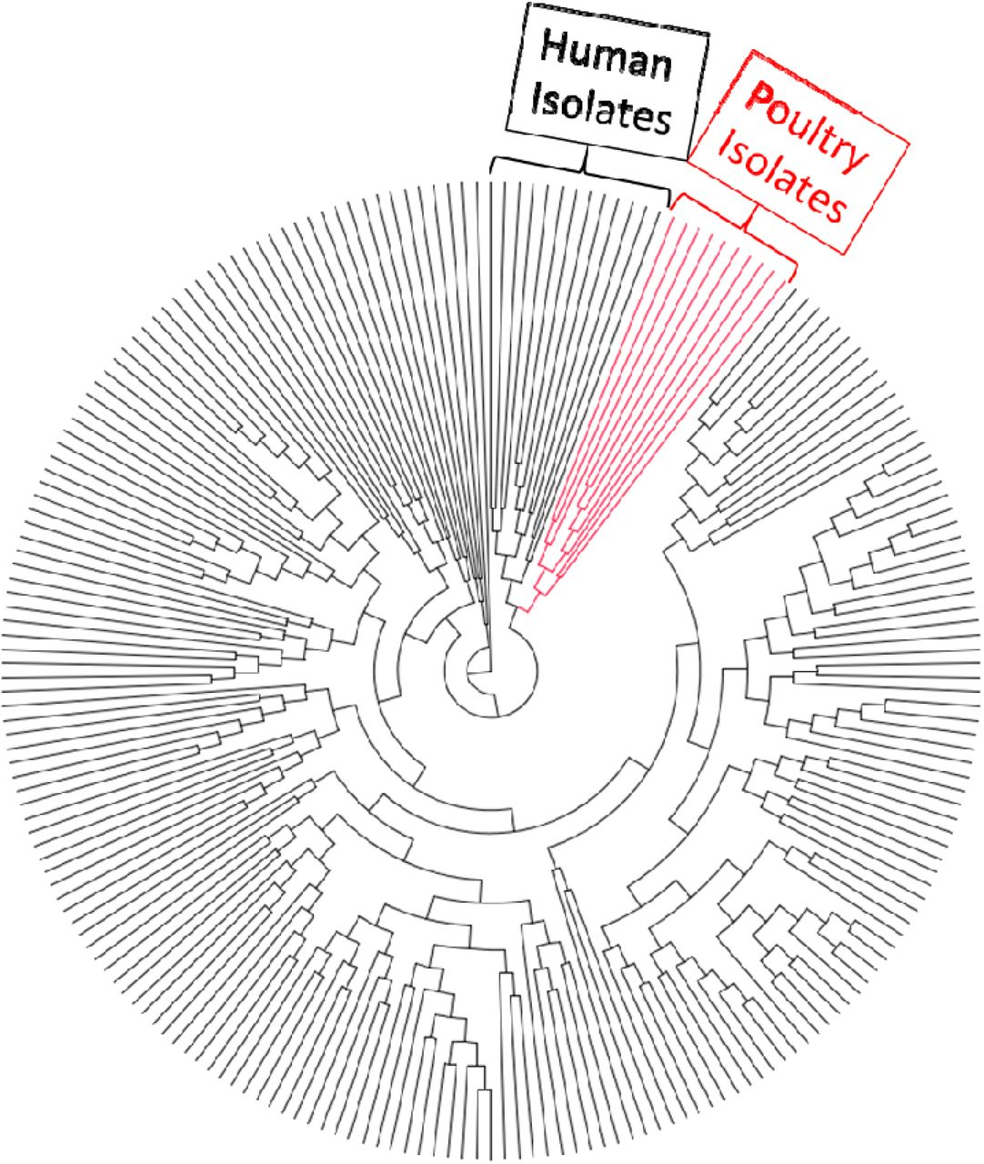 Analysis of Genomes of Bacterial Isolates from Lameness Outbreaks in  Broilers