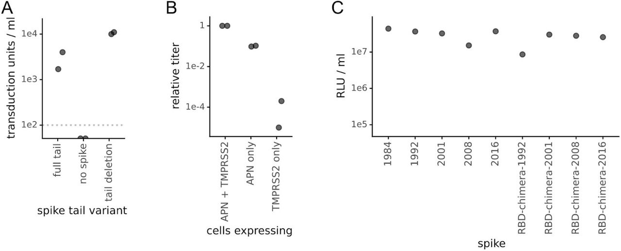 The 229E spikes with a cytoplasmic tail deletion pseudotype lentiviral particles that efficiently infect 293T cells expressing the spike's receptor aminopeptidase N (APN) and the activating protease TMPRSS2. (A) Titer in transduction units per ml as determined using flow cytometry of lentiviral particles pseudotyped with the full-length 2016 spike or that spike with a deletion of the last 19 residues in spike (the end of the cytoplasmic tail) on 293T cells transfected with a plasmid expressing APN. The dotted gray line is the limit of detection, and the titers in the absence of spike were below this line (undetectable). (B) Efficient entry by the pseudotyped virions depends on expression of APN and to a lesser extent TMPRSS2. Virions pseudotyped with the 2016 spike with the C-terminal deletion were infected into 293T cells transfected with plasmids expressing one or both of APN and TMPRSS2, and titers were determined by luciferase luminescence. Titers are normalized to one. (C) All of the 229E spikes and chimeras used in this study mediated efficient viral entry. Lentiviral particles were pseudotyped with the indicated spike (in all cases with the C-terminal deletion) and titers were determined using luciferase luminescence on 293T cells transfected with plasmids expressing APN and TMPRSS2.