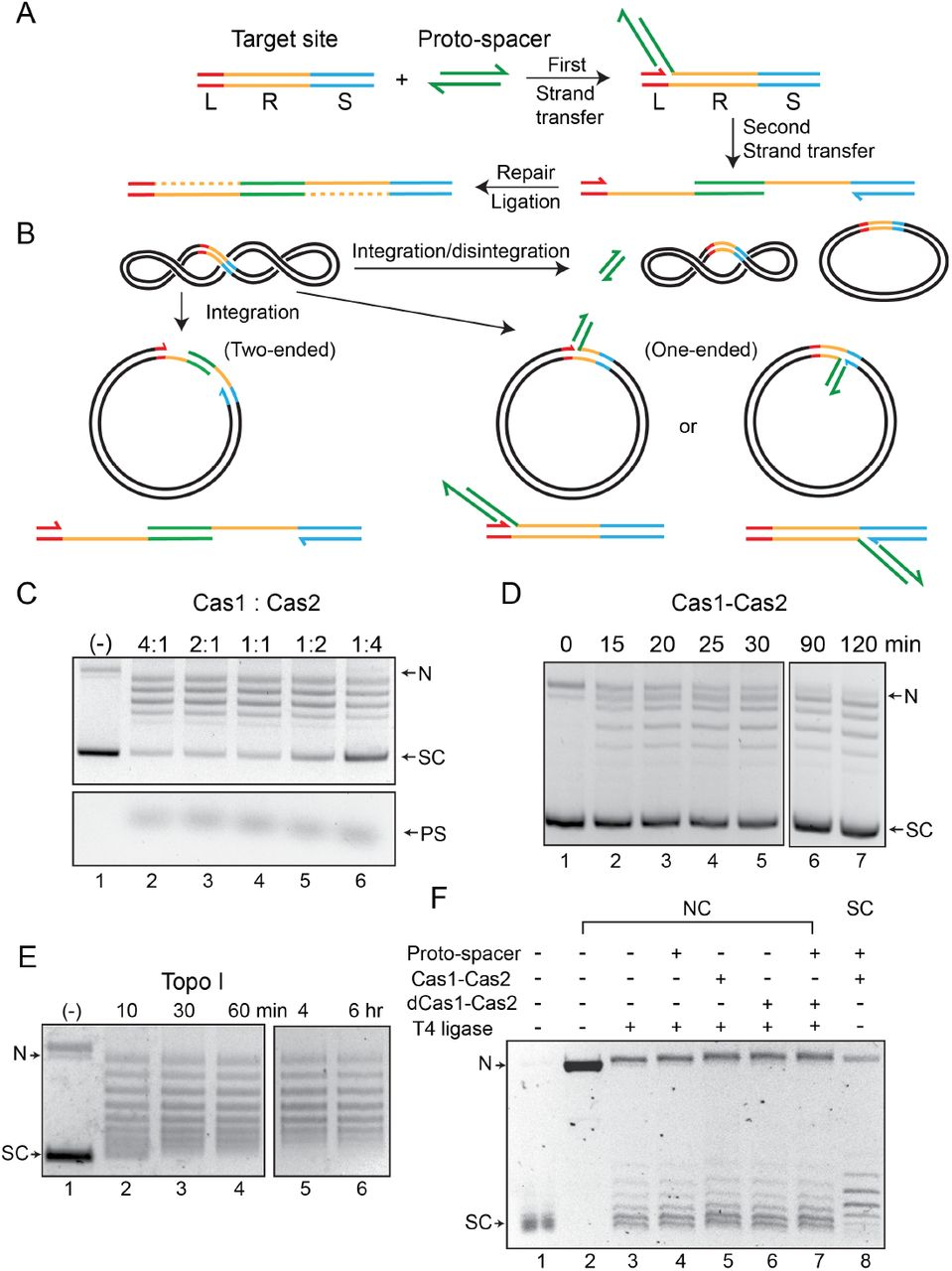 Cas1-Cas2 integrates and disintegrates proto-spacers at the CRISPR locus in a supercoiled plasmid. A . Illustration of protospacer (PS, green) integration into a minimal CRISPR locus comprised of the leader (L, red), repeat (R, yellow) and spacer (S, blue). The reaction follows the cut- and-paste DNA transposition mechanism with a duplication of the repeat sequence. The 3'-hydroxyls that perform nucleophilic attacks at the L-R junction (top strand) and the R-S junction (bottom strand) are indicated by the split arrowheads. B . In vitro reactions were performed with a supercoiled acceptor plasmid containing the minimal CRISPR locus (L = 11 bp; R = 36 bp; S = 27 bp). Each strand of the proto-spacer was 26 nt long, with four single stranded 3'-proximal nucleotides. The products of two-ended (complete) and one-ended (partial) proto-spacer integration and of protospacer integration-disintegration are diagrammed. Plasmid supercoiling will be reduced if the free DNA end undergoes rotation between integration and disintegration. C . The target plasmid and the proto-spacer were reacted with Cas1-Cas2 mixtures in the indicated molar ratios. After 2 hr incubation, reactions were analyzed by agarose gel electrophoresis and ethidium bromide staining. A split view of the top and bottom portions of the gel is presented to show the plasmid and proto-spacer bands. D . Reactions were similar to those shown in C, and utilized a Cas1 to Cas2 molar ratio of 2:1. E . The substrate plasmid used for the reactions in C and D was treated with a sub-optimal amount of E. coli topoisomerase I to follow the pattern of DNA relaxation over time. F . The T4 ligase reactions (lanes 3-7) were performed on the plasmid containing the L-R-S target site nicked with Nb BtsI (lane 2). The Cas1-Cas2 integration-disintegration reaction (lane 8) utilized the same plasmid in its supercoiled form (lane 1). Reactions were analyzed by gel electrophoresis in the presence of chloroquine (0.4 μg /ml). The DNA bands 
