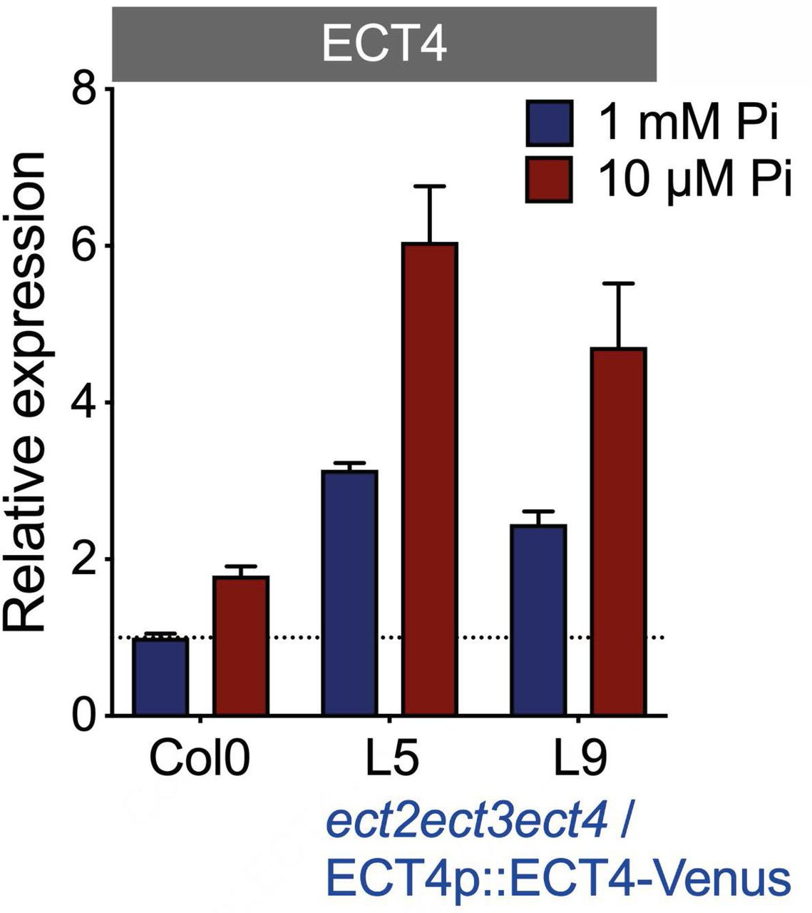 ECT4 expression in phosphate deprivation. ECT4 expression profile of Pi-deprived plants grown on MS plates. ect2ect3ect4 / ECT4p::ECT4-Venus , triple mutant complemented with ECT4-Venus (native 3'UTR present) under control of ECT4 native promoter. RT-qPCR using oligo pair specific to ECT4 , endogenous and transgene (n = 3 bio. rep.).
