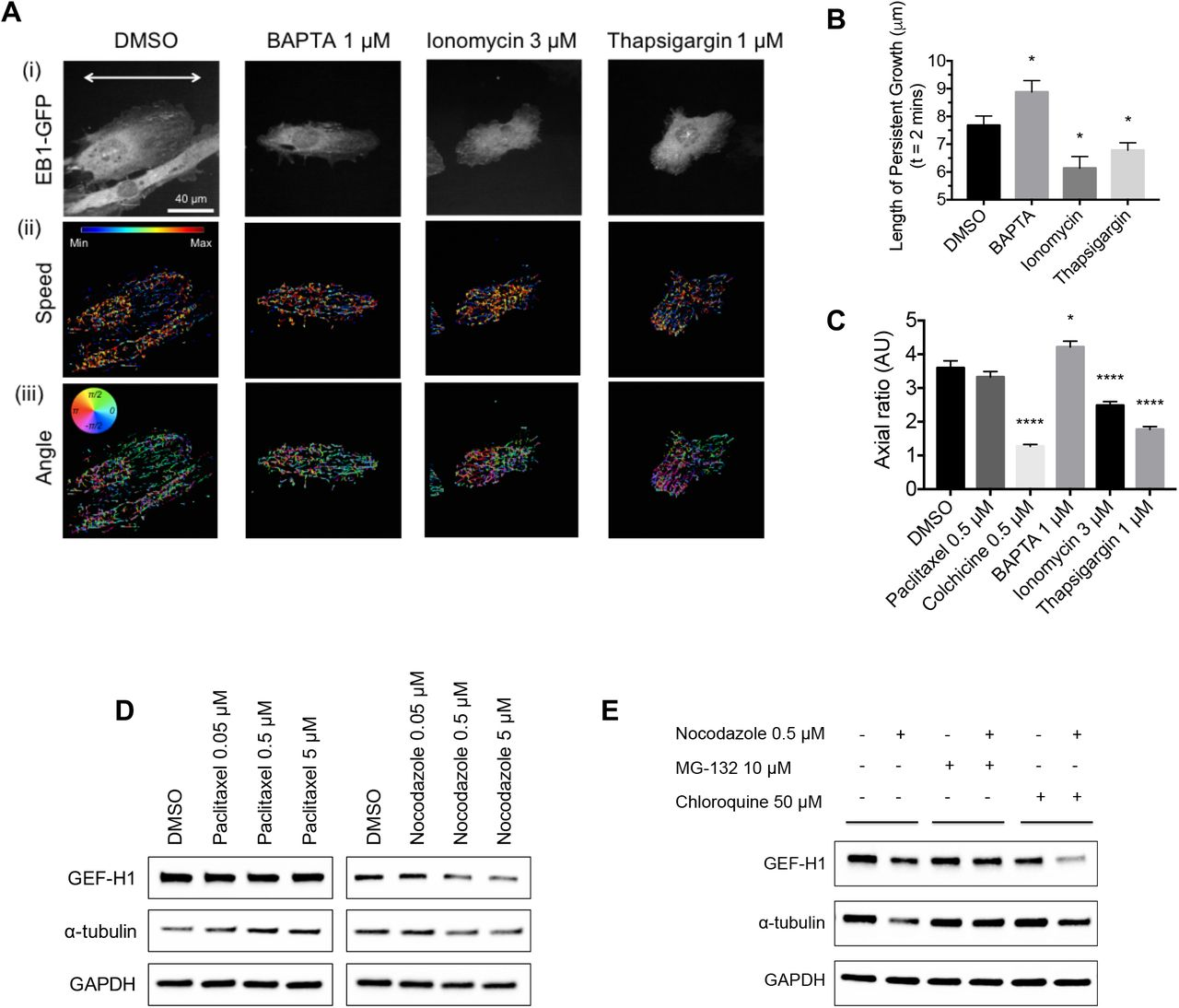 A persistent increase in intracellular Ca 2+ leads to MT depolymerization, causing proteosomal GEF-H1 degradation (A) (i) Representative fluorescent images of EB1-GFP-expressing HUVECs cultured on a nano-grooved patterned substratum following treatment by DMSO, <t>BAPTA</t> (1 μM), <t>ionomycin</t> (3 μM) and thapsigargin (1 μM) for 15 hours. The white arrow indicates the direction of the grooves and ridges in the pattern. Scale bar: 40 μm. Results of an automated tracking analysis representing (ii) speed and (iii) angle of trajectories of EB1-GFP clusters from images taken every 2 seconds for 2 minutes. (B) Comparison of the length of persistent MT growth over 2 minutes for the conditions of treatment by DMSO, BAPTA (1 μM) (* P = 0.0401), ionomycin (3 μM) (* P = 0.0113) and thapsigargin (1 μM) (* P = 0.0447). Data were analyzed by unpaired two-tailed t test with error bar representing s.e.m. (C) Comparison of axial ratios of HUVECs under the conditions of treatment with DMSO (n = 106 cells), paclitaxel (0.5 μM) (n = 140 cells), colchicine (0.5 μM) (n = 132 cells), BAPTA (1 μM) (n = 135 cells), ionomycin (3 μM) (n = 130 cells) and thapsigargin (1 μM) (n = 113 cells). Data were analyzed by one-way ANOVA with error bar representing s.e.m. (* P = 0.0116, **** P