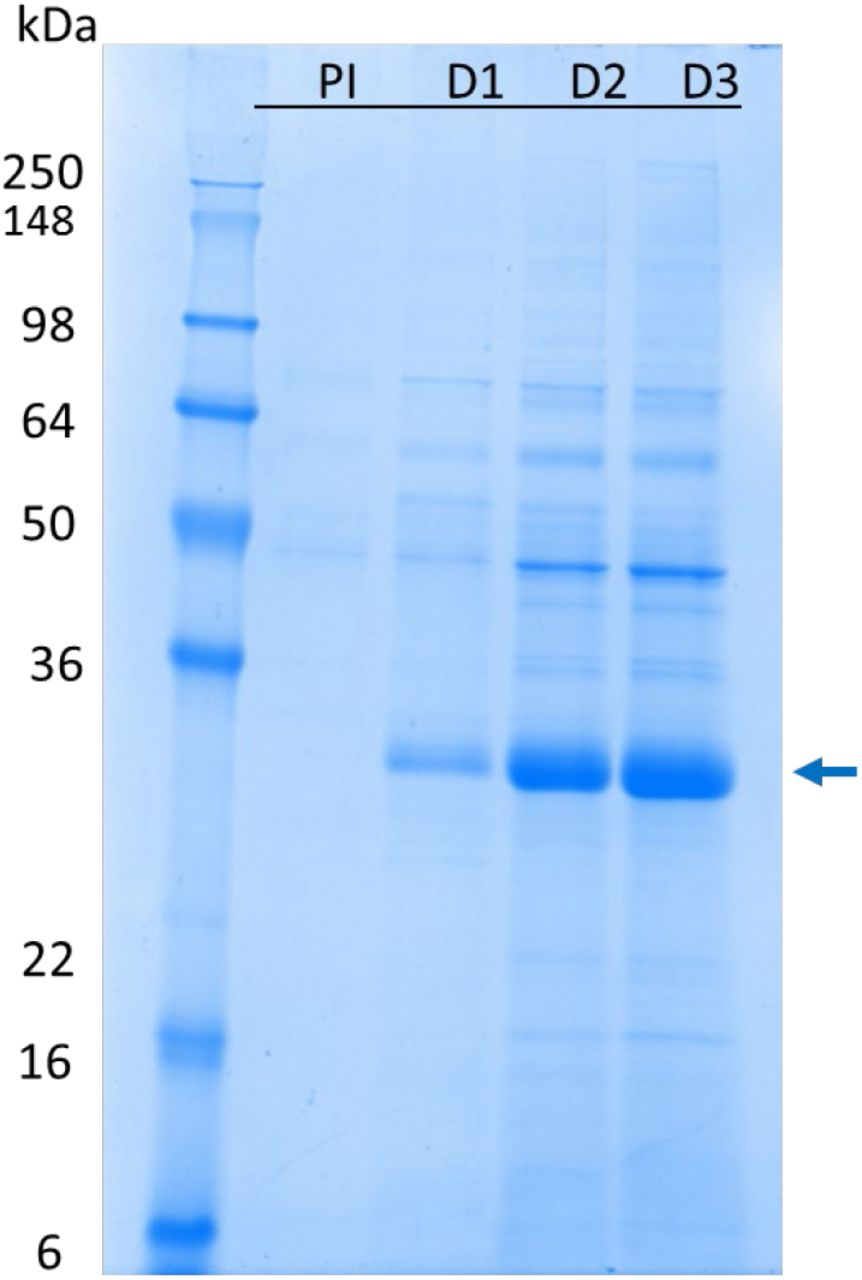 Time point SDS-PAGE analysis of pre- and post-induction fermentation samples of the lockdown process (Run 5). PI: pre-induction; D1, D2, D3: Day 1-3 after induction. The arrow shows RBD219-N1C1 in fermentation supernatant after induction.