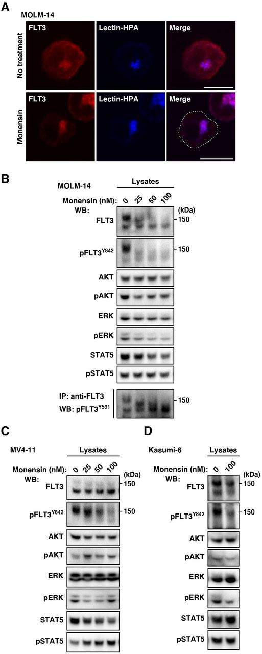 In AML cells, FLT3-ITD can activate AKT, ERK, and STAT5 before it reaches the PM. (A.B) MOLM-14 cells were treated with <t>monensin</t> (inhibitor of Golgi export) for 8 hours. (A) Cells treated with 100 nM monensin were stained with anti-FLT3 (red) and lectin-HPA (Golgi marker, blue). Dashed line, cell border. Bars. 10 μm. (B) Lysates were immunoblotted with the indicated antibody. To examine phospho-FLT3 Tyr59l (pFLT3 Y591 ). FLT3 was immunoprecipitated, then immunoblotted. (C.D) MV4- 11 (C) or Kasumi-6 cells (D) were treated with monensin for 8 hours, then immunoblotted. Note that FLT3-ITD in the early secretory pathway can activate downstream in AML cells.