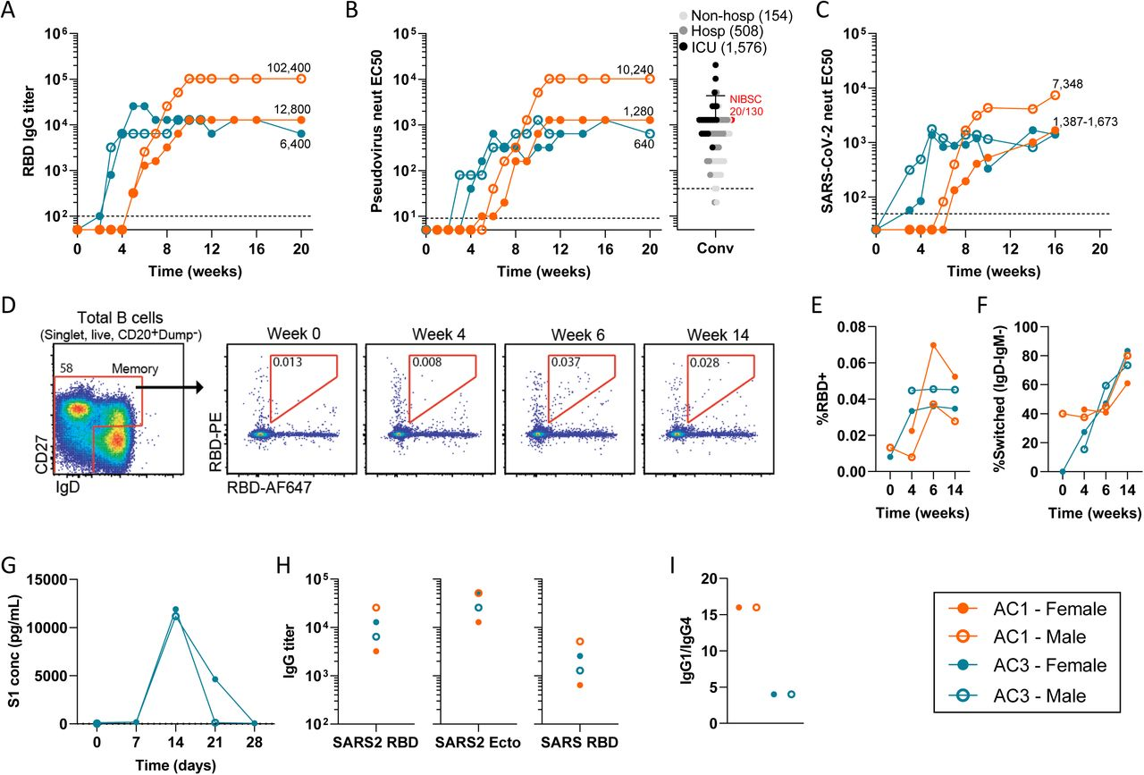 Characterization of humoral immune responses in NHP. (A) SARS-CoV-2 RBD-binding IgG titers 20-week follow up in Rhesus macaques (n=2, 1 female and 1 male) treated IM with 10 12 gc of AC1 or AC3. (B) Pseudovirus neutralizing antibody titers in NHPs for 20 weeks (left) and 60 convalescent human plasma samples of patients with different disease severity and NIBSC 20/130 (red dot) reference plasma (right). The Geometric Mean Titer (GMT) is shown for each cohort of convalescent plasma. (C) Live SARS-CoV-2 neutralizing titers. (D) Identification of RBD-binding B cells with a memory phenotype (CD27+ or CD27-IgD-) in peripheral blood of a representative macaque at multiple dates post-vaccination. (E) Frequency of RBD-binding B cells in memory B cell compartment. (F) Frequency of RBD-binding memory B cells with isotype-switched (IgD-IgM-) phenotype. (G) Quantification of S1 subunit concentration (pg/mL) in sera of animals treated with AC3 during the first month after vaccination. (H) Titration of binding antibodies against SARS-CoV-2 RBD (SARS2 RBD), SARS-CoV-2 Spike ectodomain (SARS2 Ecto) and SARS-CoV RBD (SARS RBD) 9 weeks after vaccination. (I) Ratio between RBD-binding IgG1 and IgG4 isotypes 8 weeks post-vaccination.