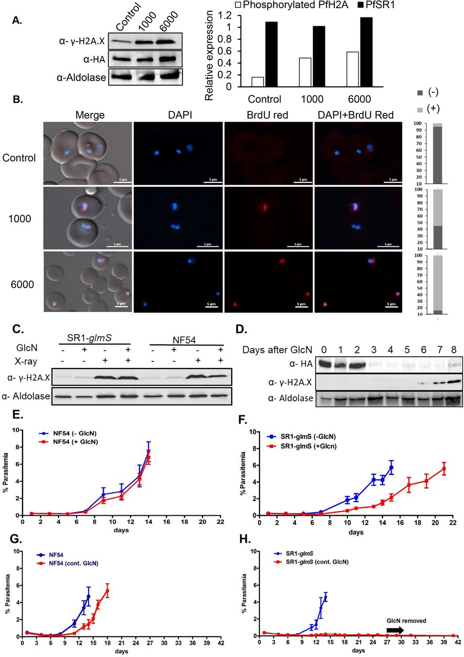 Pf SR1 is essential for parasite recovery from DNA damage cause by X-ray irradiation. (A). Exposure of Pf SR1- glmS parasite lines to increasing levels of X-ray irradiation is associated with increased levels of γ-PfH2A. (B). DNA fragmentation imaging by TUNEL assay of parasites exposed to increasing levels of X-ray irradiation demonstrating increased levels of DNA breaks. Quantification of the percentage of TUNEL positive and negative nuclei in each treatment is presented on the right (n=100). Scale bar is 5 μm. (C). Western blot analysis demonstrating that the levels of γ-PfH2A are elevated 15 minutes after X-ray irradiation regardless of GlcN treatment or parasite line (5mM for 72 h prior to irradiation). (D). Western blot analysis of Pf SR1- glmS parasite line growing on GlcN over time, indicating that γ-PfH2A accumulates approximately one week after Pf SR1 down-regulation. (E). Growth curves of wild type NF54 parasites exposed to a near lethal dose of X-ray irradiation of 6000 rad. Parasites were grown either on regular media (-GlcN) or with media added with 5mM GlcN for 72h and washed immediately before irradiation (+ GlcN). (F). Growth curves of Pf SR1- glmS parasites exposed to 6000 rad X-ray irradiation and grown either on regular media (-GlcN) or with media supplemented with 5mM GlcN for 72h and washed immediately before irradiation (+ GlcN). (G). Growth curves of wild type NF54 parasites exposed to 6000 rad X-ray irradiation and grown either on media supplemented continuously with 5mM GlcN (cont. GlcN) or on regular media. (H). Growth curves of Pf SR1- glmS parasites exposed to 6000 rad X-ray irradiation and grown either in media supplemented continuously with 5mM GlcN (cont. GlcN) or in regular media. Each of the curves represents the average parasitemia of 3 biological replicates at each timepoint. Error bars represent standard errors.