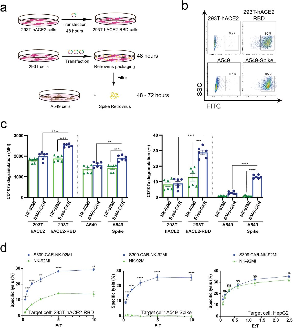 Increased CD107a surface expression and killing activity of S309-CAR-NK-92MI cells against 293T-hACE2-RBD and A549-Spike target cells. (a) Generation of transient 293T-hACE2-RBD and stable A549-Spike cell lines. 293T-hACE2 cells were transfected with RBD-containing plasmid for 48 hours. Transfected 293T-hACE2-RBD cells were then harvested. For the generation of A549-Spike, 293T cells were transfected with the retrovirus transfection system for 48 hours. The spike retrovirus was filtered and transduced into A549 cells for an additional 48-72 hours. ( b ) Representative dot plots showing the expressions of RBD or Spike in 293T-hACE2 or A549 cells, respectively. 293T-hACE2-RBD and A549-Spike cells were stained with anti-RBD and the expressions were confirmed by flow cytometry. The stable A549-Spike cell line was then sorted to achieve high levels of spike expression. ( c ) Quantitative data of CD107a surface expression assay of S309-CAR-NK against 293T-hACE2-RBD or A549-Spike cell lines. Briefly, S309-CAR-NK-92MI cells were cocultured with either 293T-hACE2-RBD cells, A549-Spike cells, stimulated with PMA/Ionomycin, or incubated alone for 2 hours at 37°C. Cells were then harvested and stained for CAR F(ab)2 domain [IgG (H+L)] and CD107a. Data represent mean ± SEM from two experiments. ( d ) 4-hour standard Cr 51 release assay of S309-CAR-NK-92MI and parental NK-92MI cells against various target cell lines. 293T-hACE2-RBD, A549-Spike, and HepG2 cell lines were used as target cells for S309-CAR-NK and NK-92MI. Experimental groups were performed in triplicates. Error bars represent mean ± SEM from at least two independent experiments. Unpaired Student's t test was used for both panels ( c ) and ( d ). ns p > 0.05, * p