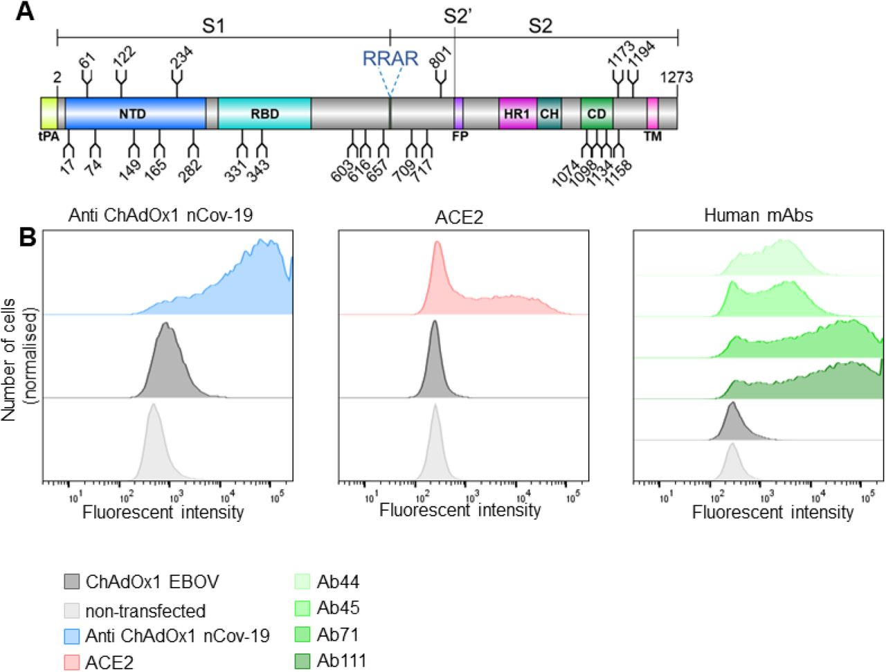 ChAdOx1 nCoV-19 produces membrane associated SARS-CoV-2 S glycoprotein in native conformations able to bind its host receptor, ACE2. (A) Schematic representation of the vaccine encoded SARS-CoV-2 S protein, showing the position of N-linked glycosylation amino-acid sequons (NXS/T, where X≠P) as branches. Protein domains are illustrated: N-terminal domain (NTD), receptor-binding domain (RBD), fusion peptide (FP), heptad repeat 1 (HR1), central helix (CH), connector domain (CD), and transmembrane domain (TM), with the additional tPA secretion signal at the N-terminus. (B) HeLa S3 cells were infected with ChAdOx1 nCoV-19 and incubated with either recombinant ACE2, anti-ChAdOx1 nCoV-19 (derived from vaccinated mice) or a panel of human mAbs (Ab44, Ab45, Ab71 and Ab111, which recognise, S2, RBD, trimeric S and NTD respectively) and compared to non-infected controls, analysed by flow cytometry. (Left). Relative frequency of cells and AlexaFluor 488 fluorescence associated with anti-spike detection is plotted. Left, (blue) anti-ChAdOx1 nCoV-19, middle (red), ACE2 and right (shades of green) human mAbs. In dark grey cells infected with an irrelevant ChAdOx1 vaccine and in light grey non-infected cells are shown as a control. Experimental replicates were performed two times and representative data shown.