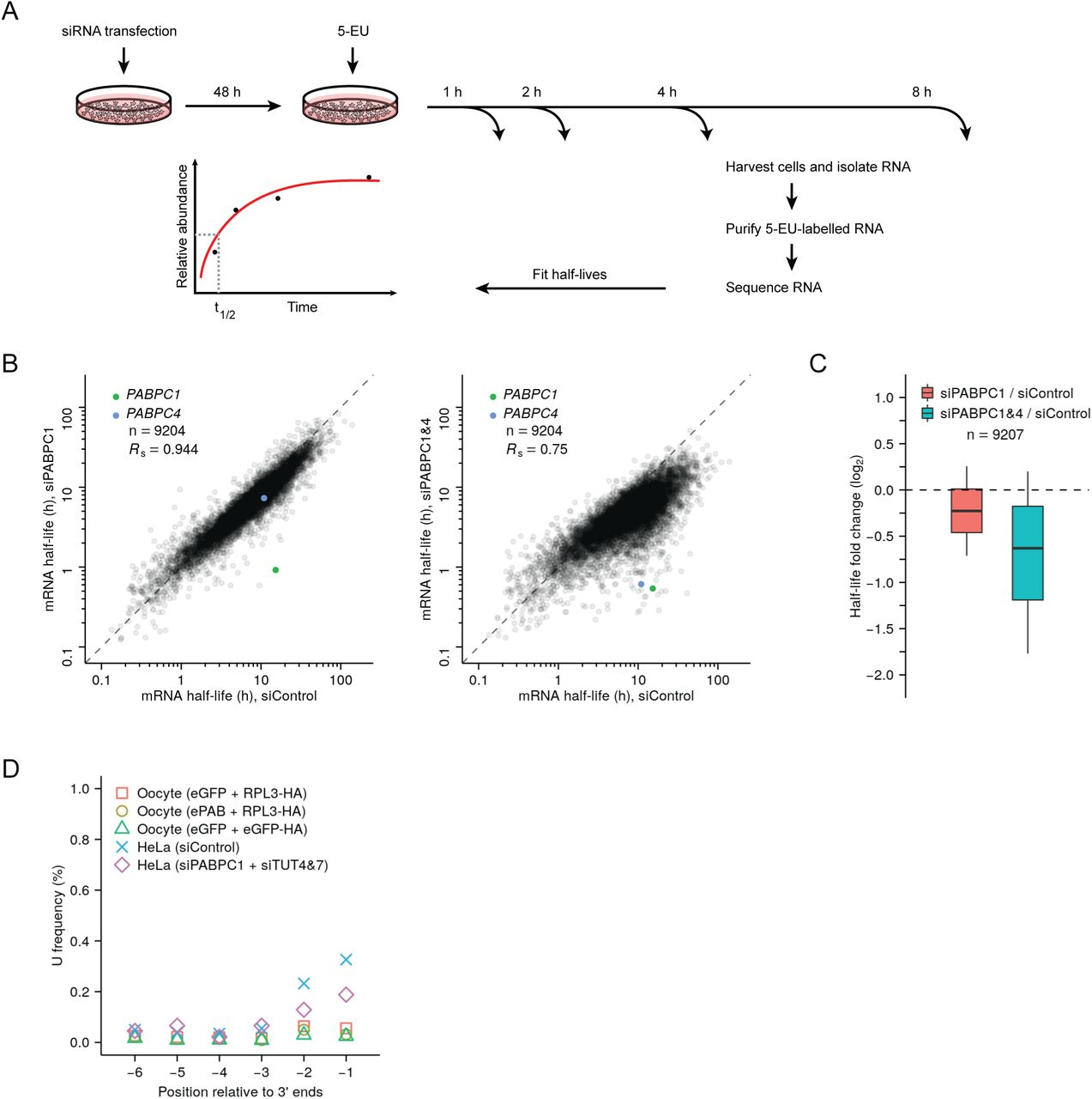 Measurements of mRNA half-lives in PABPC-depleted HeLa cells and terminal uridylation levels in frog oocytes. ( A ) Experimental scheme for measuring mRNA half-lives in HeLa cells. siRNA-transfected cells were incubated with <t>5-ethynyl</t> uridine (5-EU), and cytoplasmic mRNA was harvested at the indicated time points. 5-EU-labeled RNA was biotinylated, isolated, and sequenced, using spike-in standards to normalize results from different time points. For labeled mRNA isolated from each gene, the approach to equilibrium was then fit to obtain its half-life. ( B ) The effect of PABPC knockdown on cytoplasmic mRNA half-lives in HeLa cells. For each gene, the mRNA half-life in PABPC1-knockdown cells (left) or in double-knockdown cells (right) is compared to that in control cells. Points representing mRNAs from three genes RHOB , TSC22D3 , PLEKHO2 fell outside the plot areas. ( C ) Distribution of the effects of PABPC knockdown on mRNA stability. Boxplots summarize the fold differences of mRNA half-lives observed in ( B ) when comparing PABPC1-knockdown or double-knockdown cells with control cells. Each box-whisker shows the 10 th , 25 th , 50 th , 75 th and 90 th percentile. ( D ) Minimal terminal uridylation activity in frog oocytes. Plotted are the fractions of cytoplasmic mRNAs containing uridines near their termini, as detected in frog oocytes injected with mRNAs overexpressing the indicated proteins using tail-length sequencing. For comparison, results from HeLa cells transfected with the indicated siRNAs are replotted from Figure 5D .