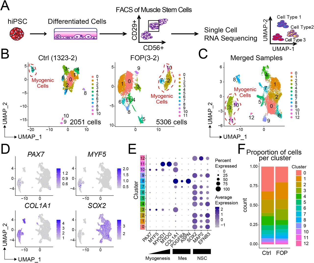 Single cell RNA sequencing of HNK1 - CD45-CD31 - CXCR4 + <t>CD29</t> + CD56 dim cells. (A) Schematic of differentiating hiPSCs, sorting of iMPCs, and scRNAseq. (B) UMAP visualization plots of the control (2,051 cells) and FOP (5,306 cells) samples. Each dot represents one cell colored by cluster identification. The myogenic cell type was assigned according to expression of a combination of marker genes ( Figure 4-figure supplement 1 ). (C) UMAP of cells combined from both control and FOP samples. (D) Feature expression plots showing the localization of cells expressing myogenic markers, mesenchymal, and neural cell marker. (E) Dot plot displaying expression genes associated with myogenesis, neurogenesis and mesenchymal markers. (F) Proportion of cells per cluster for each sample.