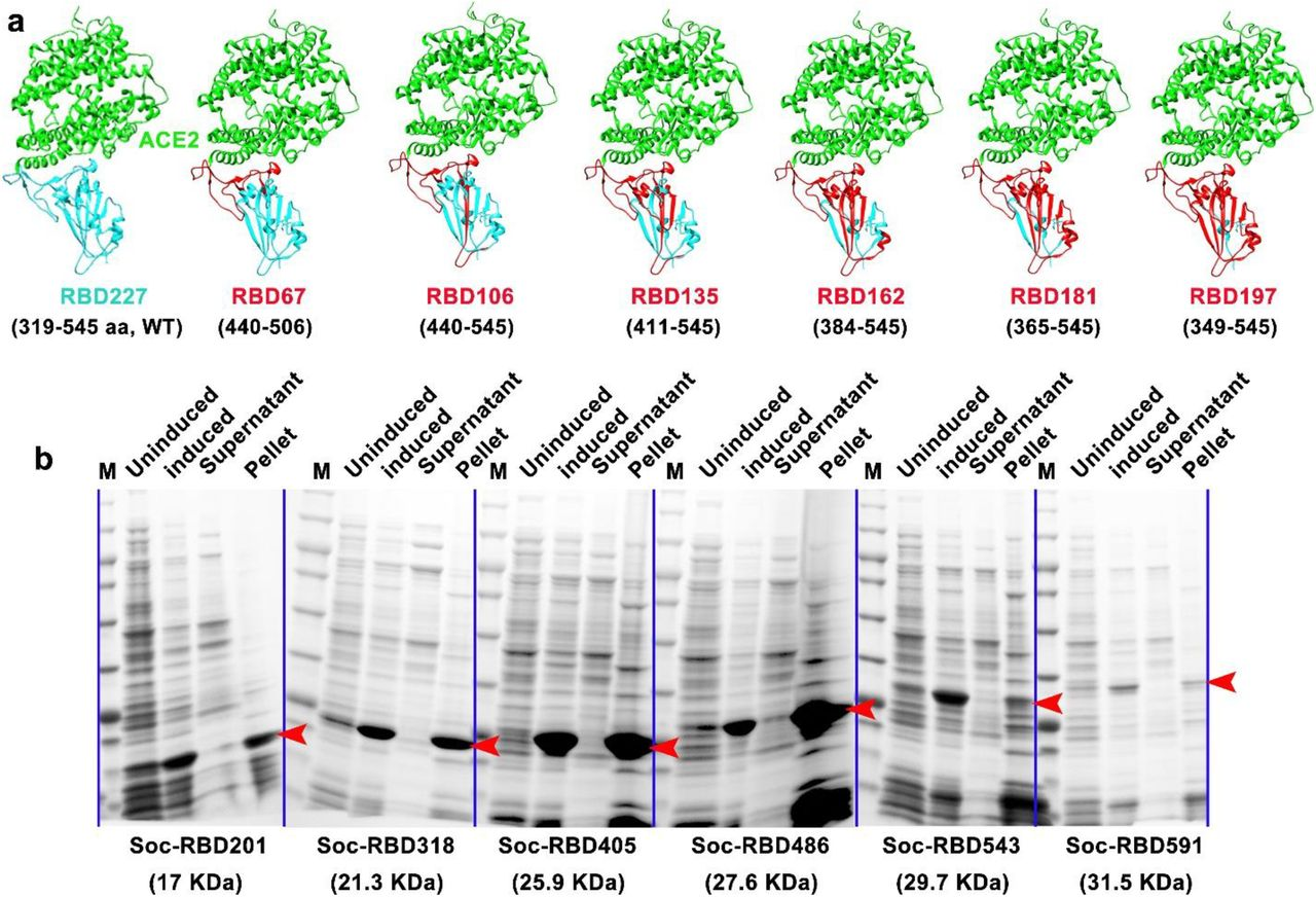 Construction and screening of various truncated SARS-CoV-2 RBDs. a. Structural models of recombinant WT RBD and various truncated RBDs bound to human ACE2. ACE2 is shown in green. The truncated RBD clones are shown in red and the WT RBD and deleted regions are shown in cyan. The Protein Data Bank (PDB) code for the SARS-CoV-2 RBD–ACE2 complex is 6M0J 34 . The truncated RBDs were generated using Chimera software. b. Solubility analysis of Soc-fused truncated RBDs after cloning and expression in E. coli under the control of the phage T7 promoter. After lysis of E. coli and centrifugation, the supernatant and pellet were analyzed by SDS-PAGE. The presence of Soc-truncated RBDs in the pellet and their absence in the supernatant demonstrated insolubility. The red arrowheads indicate the band positions of various Soc-truncated RBDs.