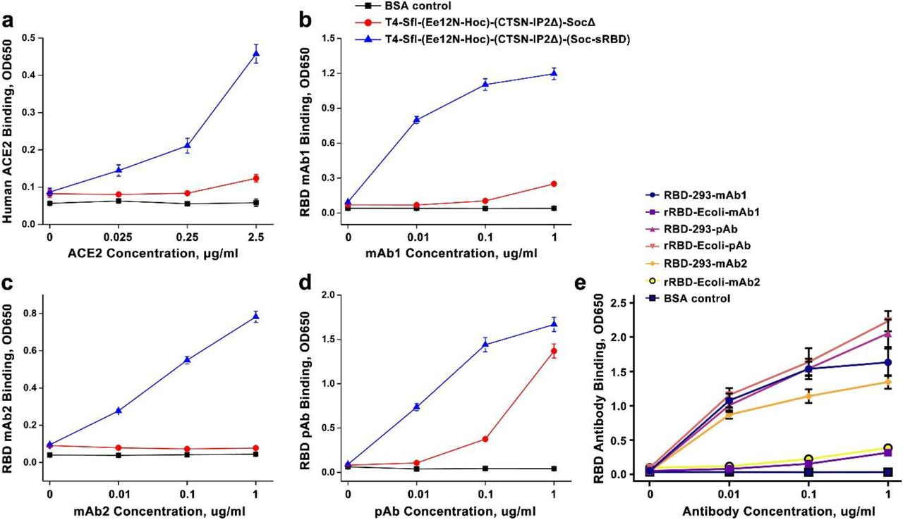 Comparison of ACE2 and RBD-antibody binding of T4-sRBD, E.coli -rRBD, and HEK293-RBD. a to d . ACE2 and a panel of RBD-specific antibodies used for quantification by ELISA. e. Comparison of E. coli -produced rRBD and human HEK293-produced RBD using a panel of RBD-specific mAbs and pAbs. The HEK293-RBD showed much greater binding to mAb1 and mAb2 than the E. coli rRBD, while binding to pAbs was similar.