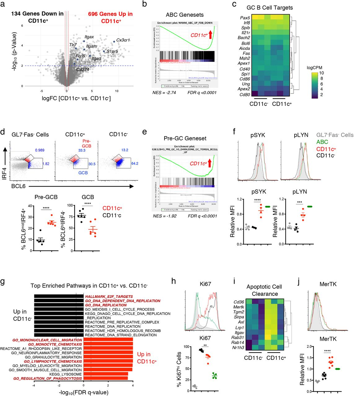 (A) Representative histograms and quantifications of Fcrl5, Tbet, Cxcr3, CD11b, IgM, IgD, and CD44 expression in CD11c + CD19 + GL7 + Fas + cells (CD11c + ) ( red ), CD11c − CD19 + GL7 + Fas + cells (CD11c − ) (black) , and CD19 + CD11c + CD11b + (ABCs) (green) from DKO(F) mice. CD19 + Fas − GL7 − cells are shown as a control (gray) . Data representative of and/or pooled from at least 6 mice and show mean +/− SEM; p-value by 1-way ANOVA followed by Tukey's test for multiple comparisons. (B) Plot showing the enrichment of an ABC geneset from SLE patients in CD11c + CD19 + GL7 + CD38 lo cells 15 . (C) Plot showing the enrichment of the HALLMARK_INTERFERON_ALPHA_RESPONSE and the HALLMARK_INTERFERON_GAMMA_RESPONSE genesets in CD11c + CD19 + GL7 + CD38 lo cells. (D) Representative histograms and quantifications of IRF8 and BCL6 in the indicated populations from DKO(F) mice. Data representative of and/or pooled from at least 6 mice and show mean +/− SEM; p-value by 1-way ANOVA followed by Tukey's test for multiple comparisons. (E-F) Splenocytes from aged DKO mice were co-cultured for 3hr with Cypher5E-labeled thymocytes following induction of apoptosis with 50μM Dexamethasone. (E) Representative histograms and quantifications showing the percentage of CD11c + and CD11c − CD19 + GL7 + Fas + cells that engulfed apoptotic thymocytes (Cypher5E + ). Data representative of and/or pooled from 4 DKO(F), 1 DKO(M), and 1 YAA-DKO(M) mice; p-value by paired two-tailed t-test. (F) Representative histogram and quantification of MHC-II expression in CD11c + CD19 + GL7 + Fas + B cells that engulfed (red ) or did not engulf (blue) apoptotic thymocytes. Data representative of and/or pooled from 6 mice as in Fig. 5E ; p-value by paired two-tailed t-test.