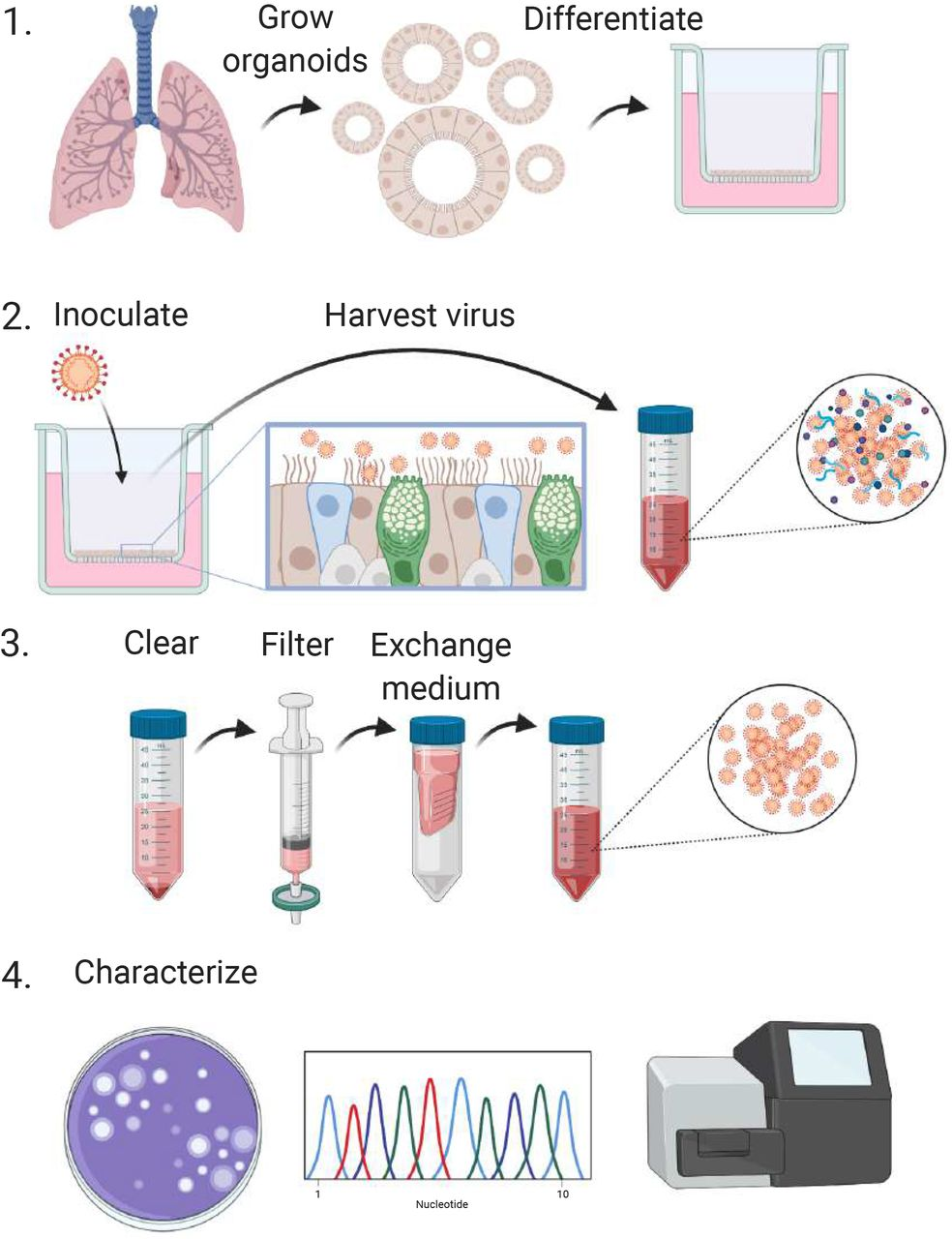 Schematic workflow for the production of SARS-CoV-2 stocks on 2D air-liquid interface differentiated airway organoids. Step 1. 3D self-renewing airway organoids are grown from human lung tissue. Next, these are dissociated to single cells and differentiated at air-liquid interface for 4-12 weeks. Step 2. Differentiated cultures are infected at a multiplicity of infection of 0.05 and washed daily for 5 days. The washes from day 2-5 are collected and stored at 4°C. Step 3. Virus collections are cleared by centrifugation and filtered to remove debris larger than 0.45 μm. Next, the medium is exchanged three times using Amicon columns to remove cytokines and debris smaller than 100 kDa. Purified virus preparations are then stored at −80°C in aliquots. Step 4. Stocks can be characterized using plaque assays, Sanger sequencing and deep-sequencing. Created with BioRender.com .