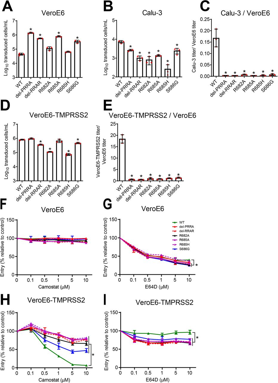 The SARS-CoV-2 multibasic cleavage site and the adjacent serine residue (S686) enhance infectivity and serine protease mediated entry on Calu-3 and VeroE6-TMPRSS2 cells. ( A-B ) SARS-CoV-2 (WT), multibasic cleavage site (MBCS) mutant and S686G pseudovirus infectious titers on ( A ) VeroE6 and ( B ) Calu-3 cells. ( C ) Fold change in SARS-CoV-2, MBCS mutant and S686G pseudovirus infectious titers on Calu-3 cells over infectious titers on VeroE6 cells. ( D ) SARS-CoV-2, MBCS mutant and S686G pseudovirus infectious titers on VeroE6-TMPRSS2 cells. ( E ) Fold change in SARS-CoV-2, MBCS mutant and S686G pseudovirus infectious titers on VeroE6-TMPRSS2 cells over infectious titers on VeroE6 cells. One-way ANOVA was performed for statistical analysis comparing all groups with WT. ( F-I ) SARS-CoV-2, MBCS mutant and S686G pseudovirus entry into ( F and G ) VeroE6 cells or ( H and I ) VeroE6-TMPRSS2 cells pre-treated with a concentration range of either ( F and H ) camostat mesylate or ( G and I ) E64D. Two-way ANOVA, followed by a bonferroni post hoc test was performed for statistical analysis comparing all groups to WT. WT pseudovirus entry into VeroE6 cells treated with 10μM E64D was significantly different from del-RRAR, R682A, R685A and S686G pseudovirus entry. * indicates statistical significance (p