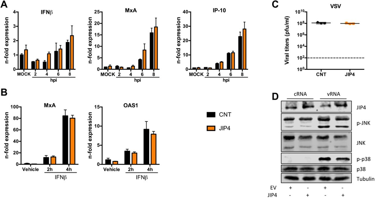 The anti-viral role of JIP4 does not correlate with changes in IFN responses or JNK/p38 activation A549 cells were transfected with either, control siRNAs or siRNAs targeting JIP4, and infected with PR8 (MOI 5). Cells were collected every two hours for qRT-PCR analysis focusing on IFN and ISG mRNA expression. Results were statistically analyzed by two-way ANOVA test (A) . A549 cells were transfected with either, siRNAs control or targeting JIP4, and stimulated with IFNß for 2 or 4 h. ISG mRNA levels were analyzed by qRT-PCR. Results were statistically analyzed by two-way ANOVA test (B) . Results are depicted as n-fold expression over MOCK/vehicle after normalization to GAPDH expression (A, B) . A549 cells were transfected with either, siRNAs control or targeting JIP4, and infected with VSV (MOI 0.01). Supernatants were collected 24 hpi and virus replication was analyzed by standard plaque assays. Results are expressed in PFU/ml and statistically analyzed by t-test (C) . For analysis of JNK and p38 activity, A549 cells were transfected with either, EV or JIP4-expressing plasmids, and incubated for 24 h. Cells were then further transfected with c/vRNAs to stimulate activation of JNK and p38 kinases. After 3 h of stimulation, cells were lysed for Western blot analysis and activation of MAPKs was determined by using pJNK and p-p38 antibodies. Detection of p38, JNK and tubulin served as loading controls, successful overexpression was confirmed by JIP4 detection (D) . All Western Blot images are representative of three independent experiments. Graphs are a compilation of two independent experiments.